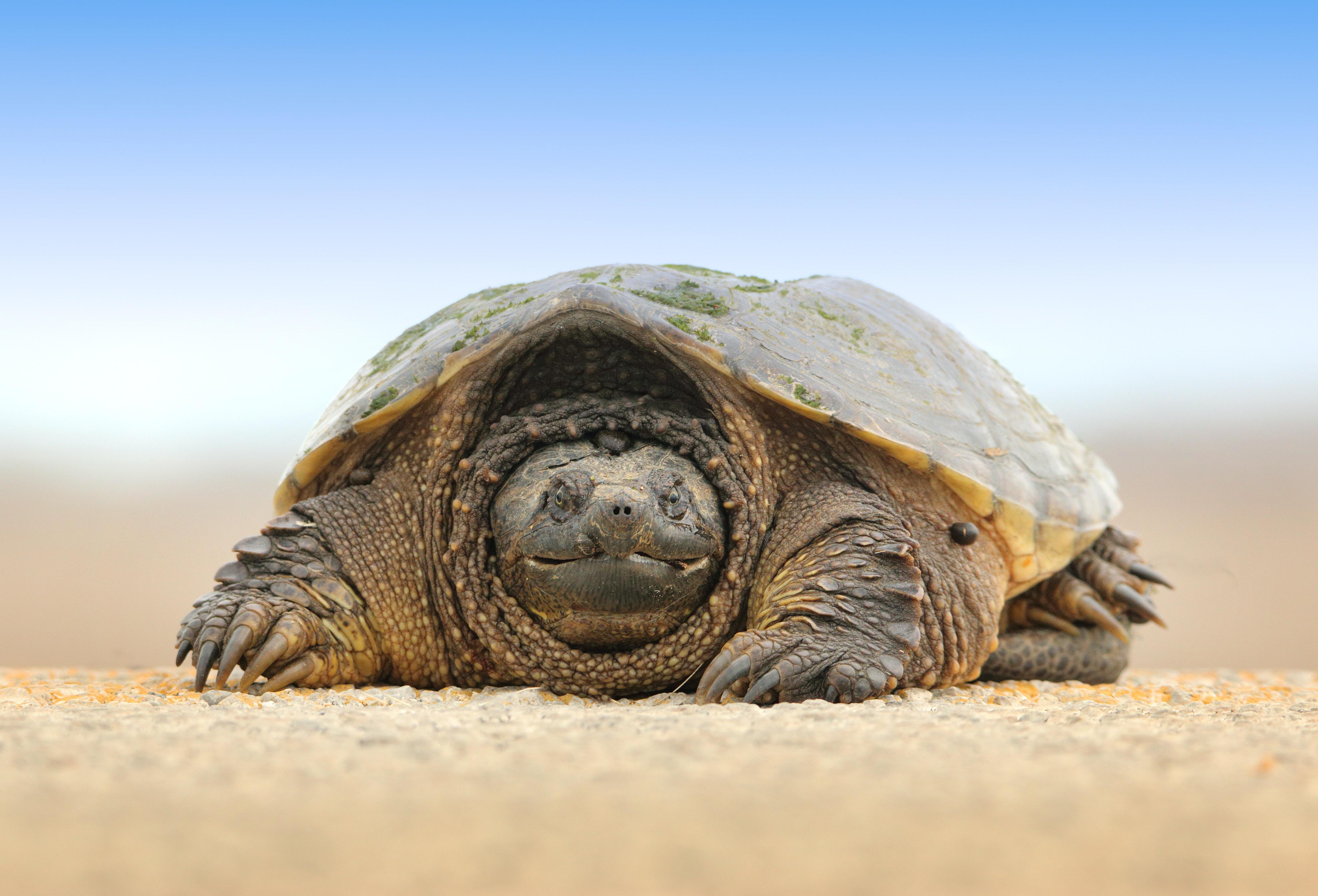 Tortoise on sandy ground in the Magee Marsh Wildlife Area
