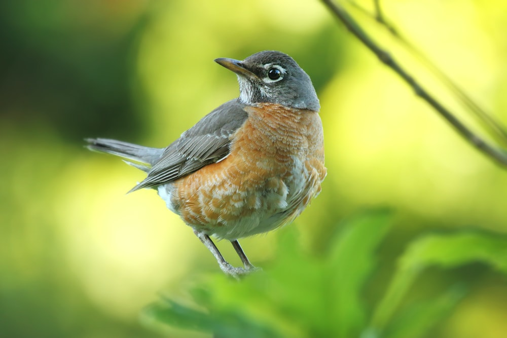 gray and brown American robin perched on green leaf selective focus photography