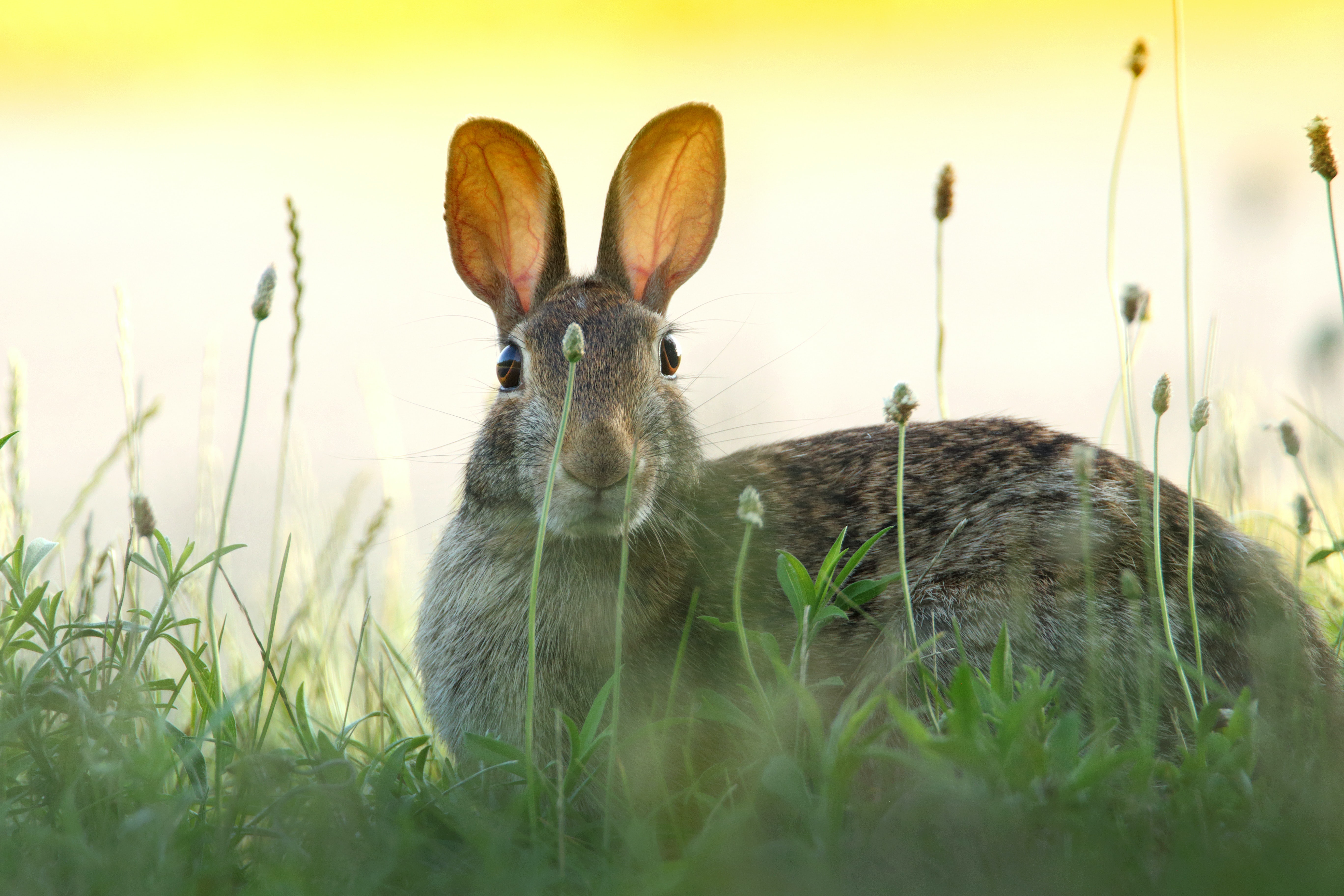 A hare looking through leaves of grass and plants into the camera