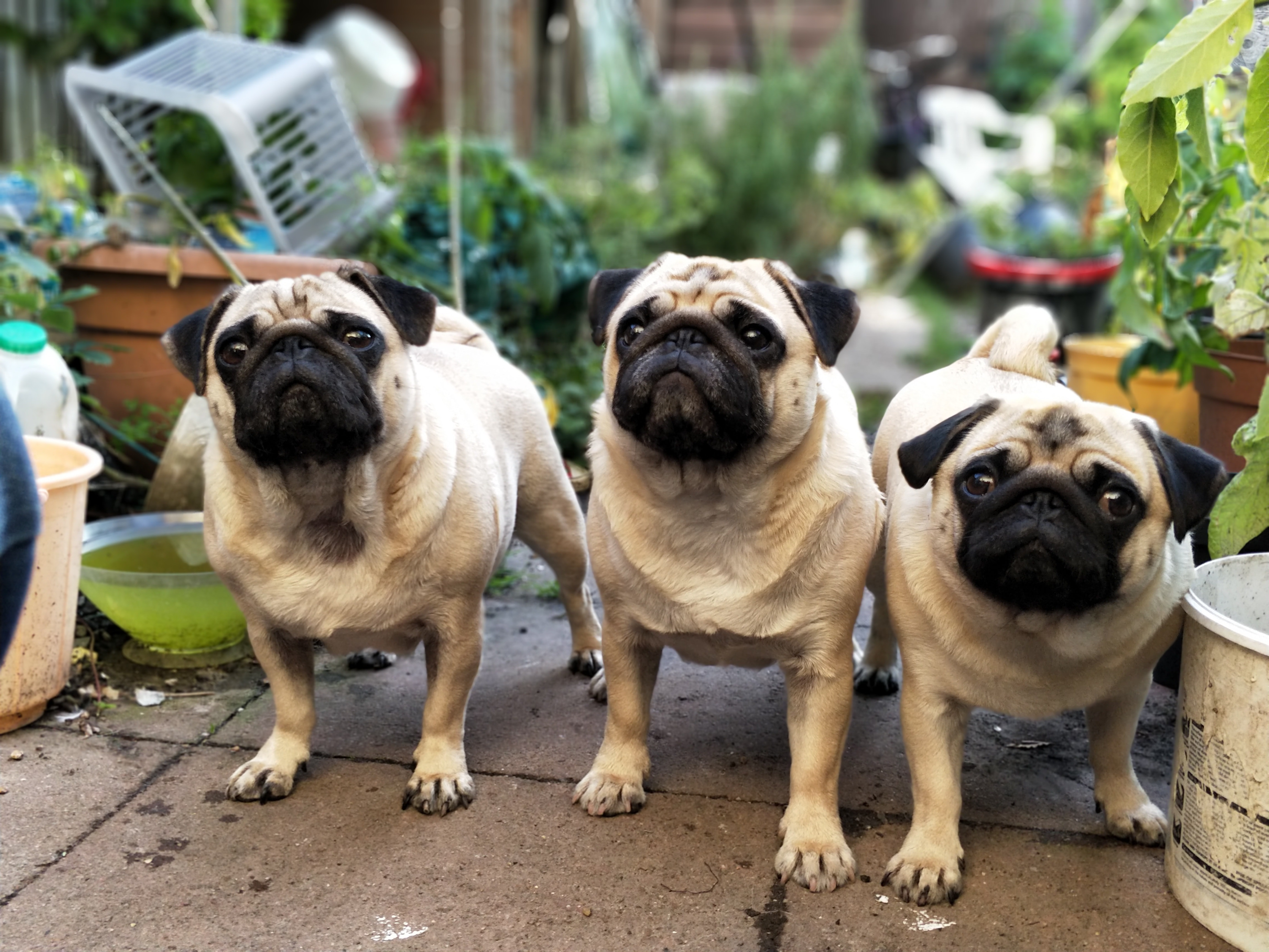 Three pugs standing at attention in a shed full of potted plants