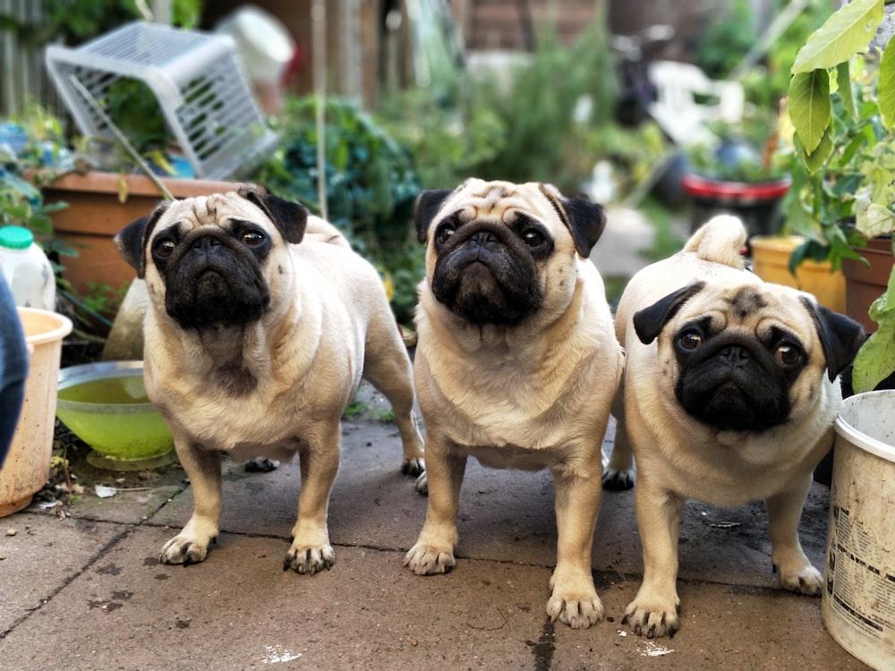 three fawn pugs