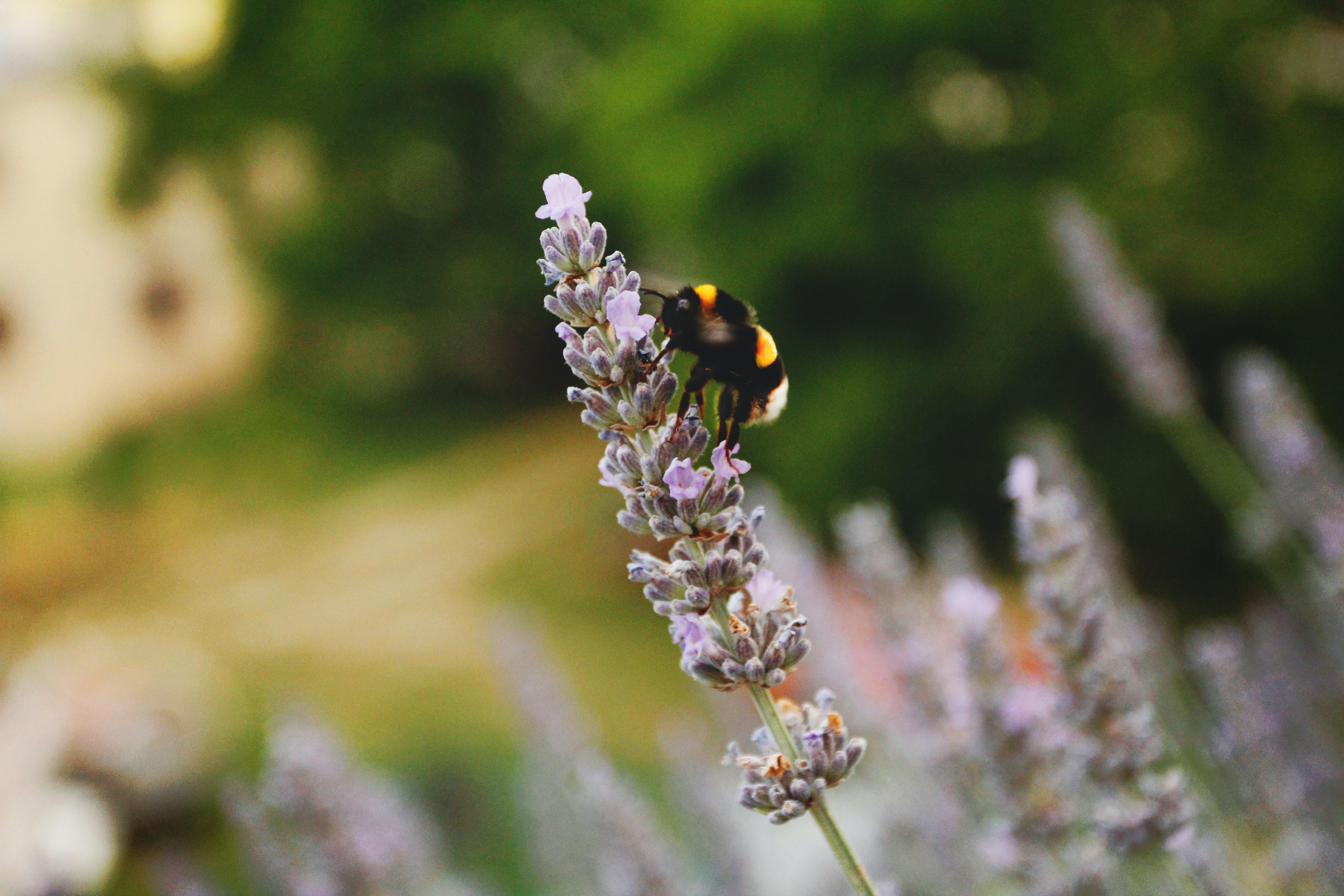 black and yellow bumblebee on purple flower