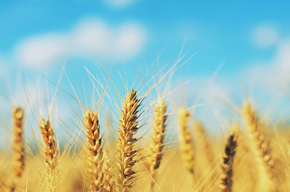 shallow focus photography of brown wheat