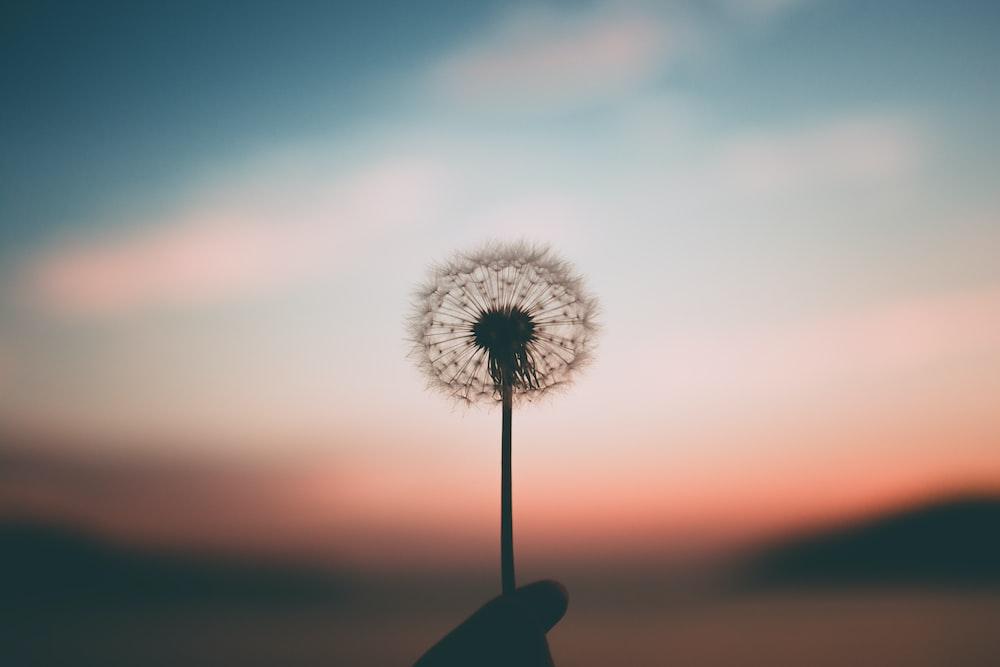 person holding dandelion flower