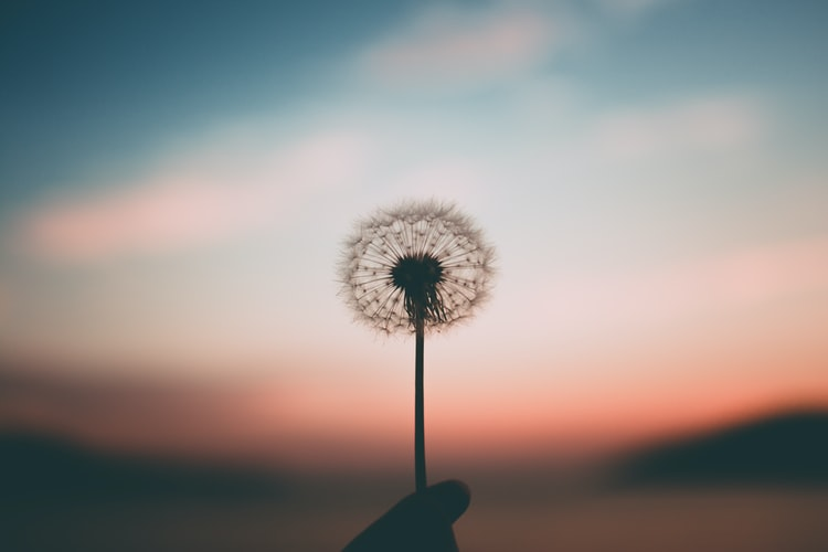 A hand holding a fluffy dandelion that is only seeds against a sunset.