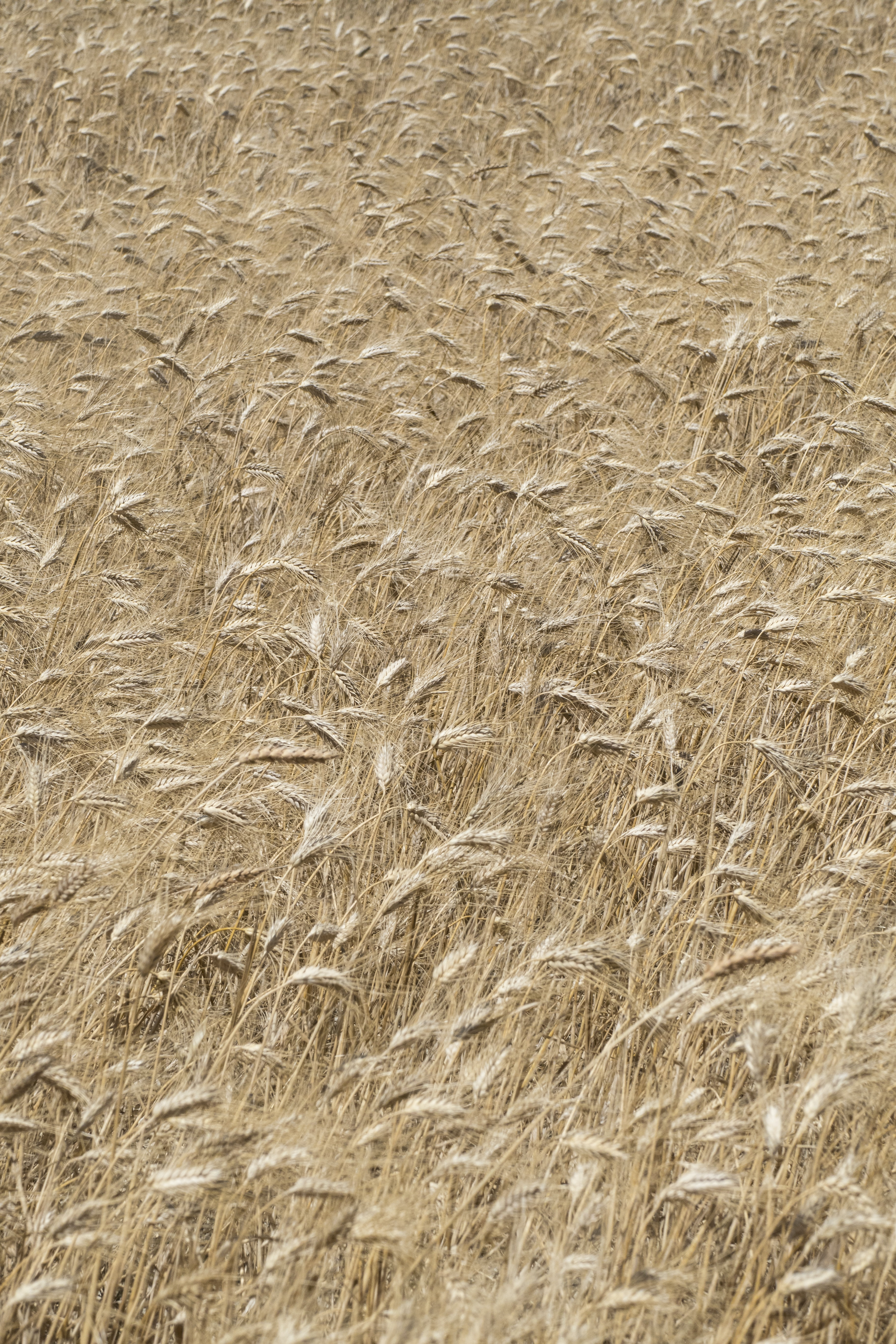 brown wheat fields