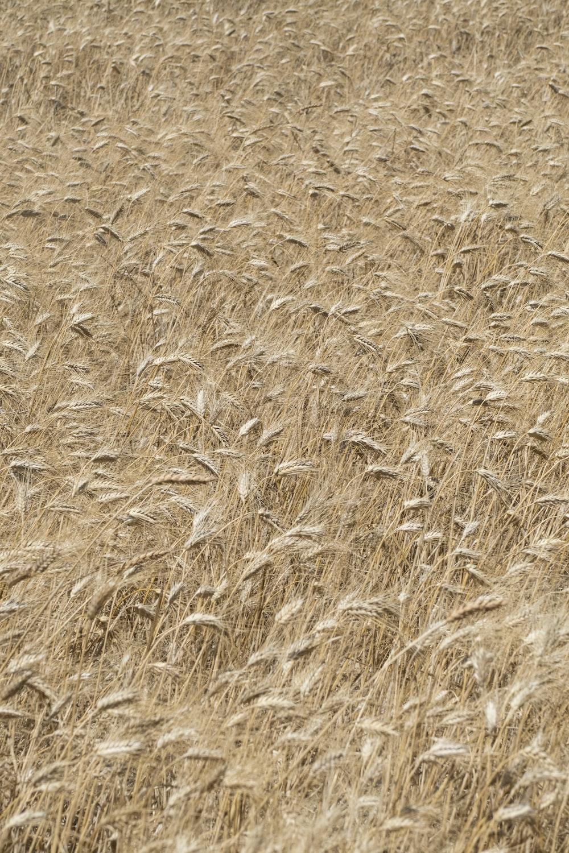 brown wheat fields