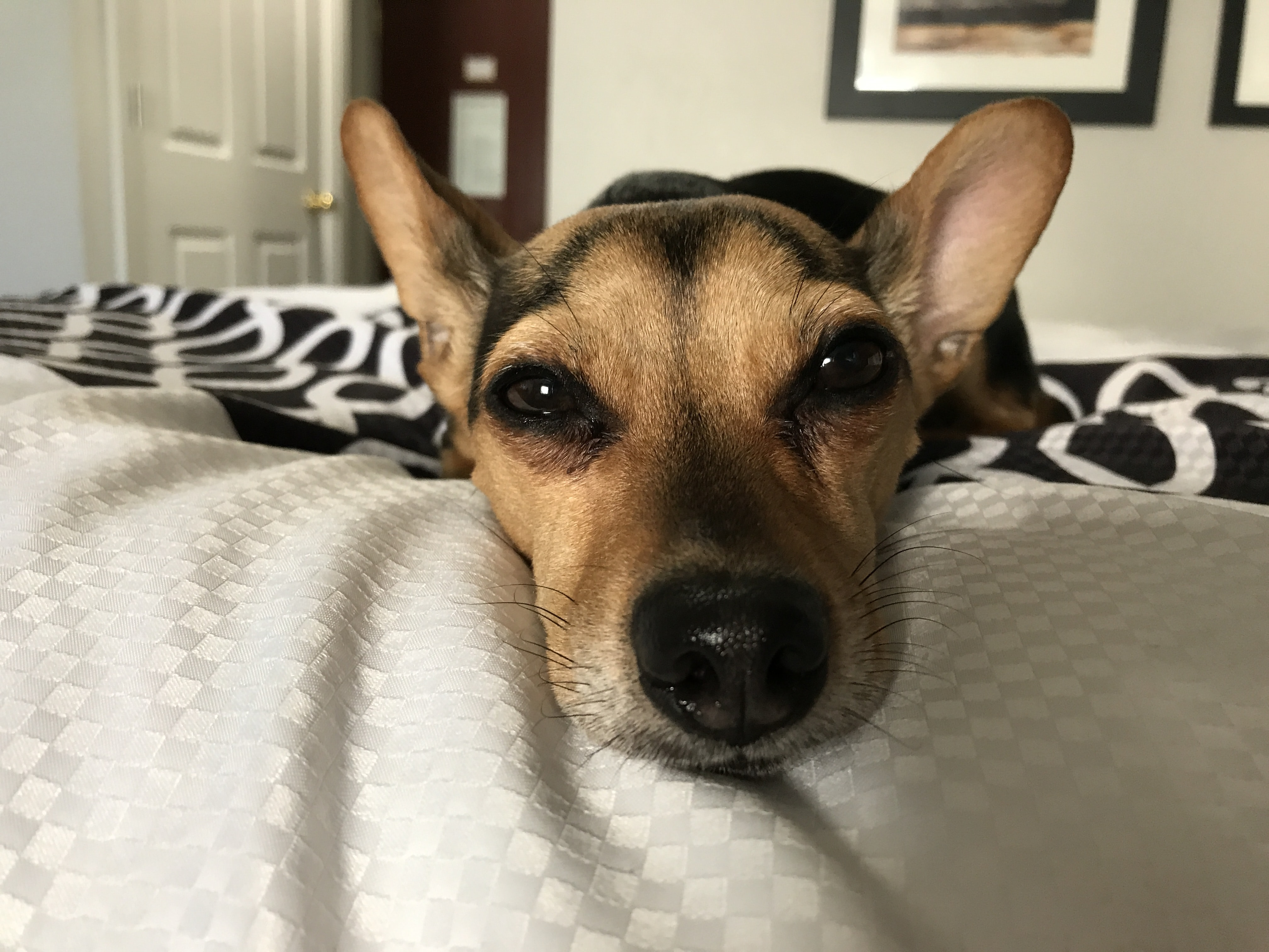 dog lying down on bed