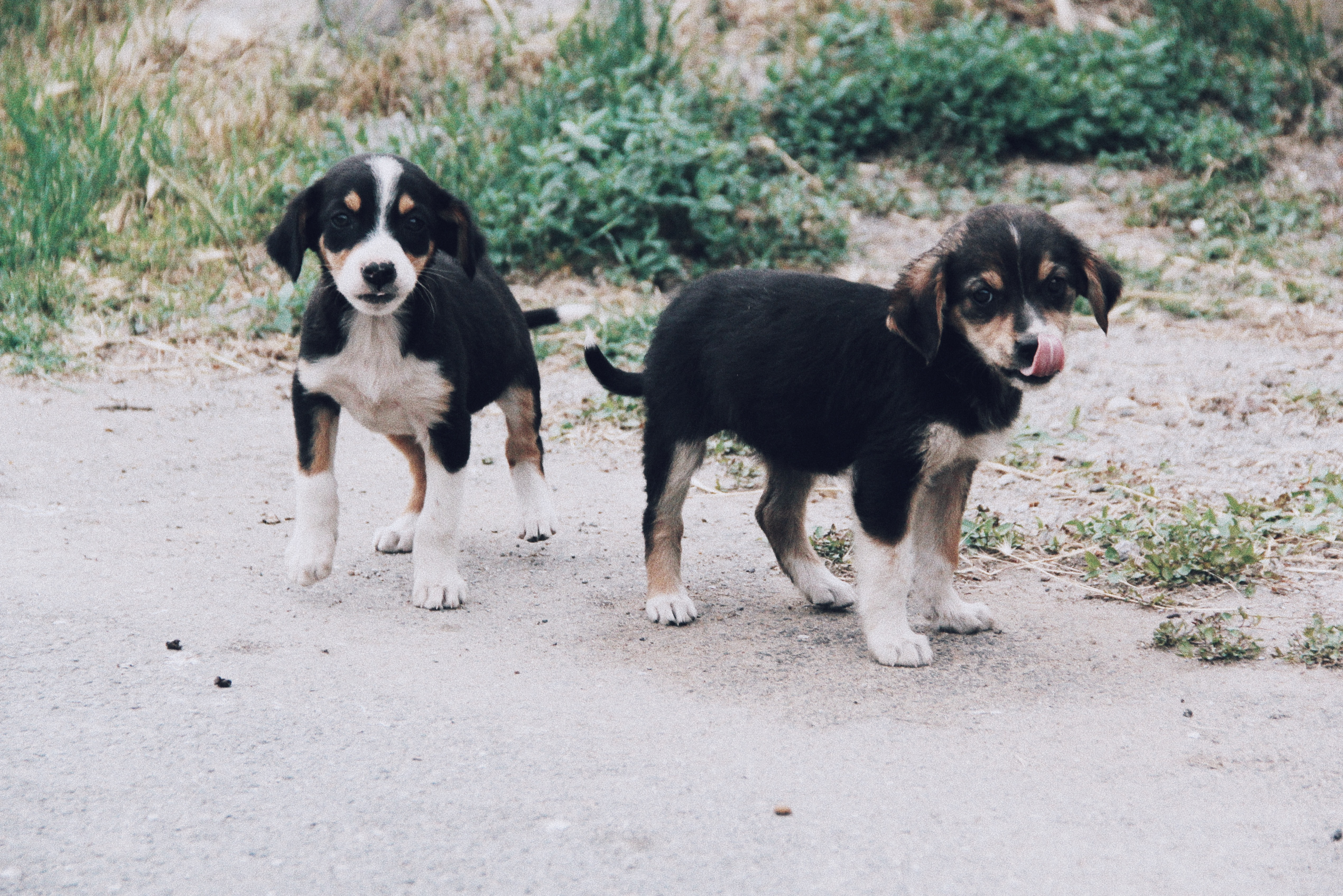 two short-coated tri-color puppies walking on ground