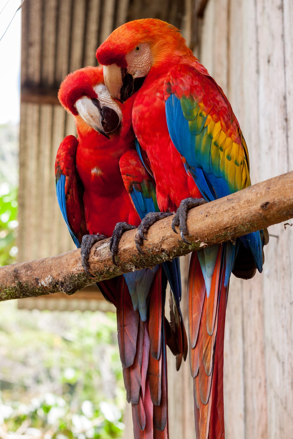 two red parrots on stick