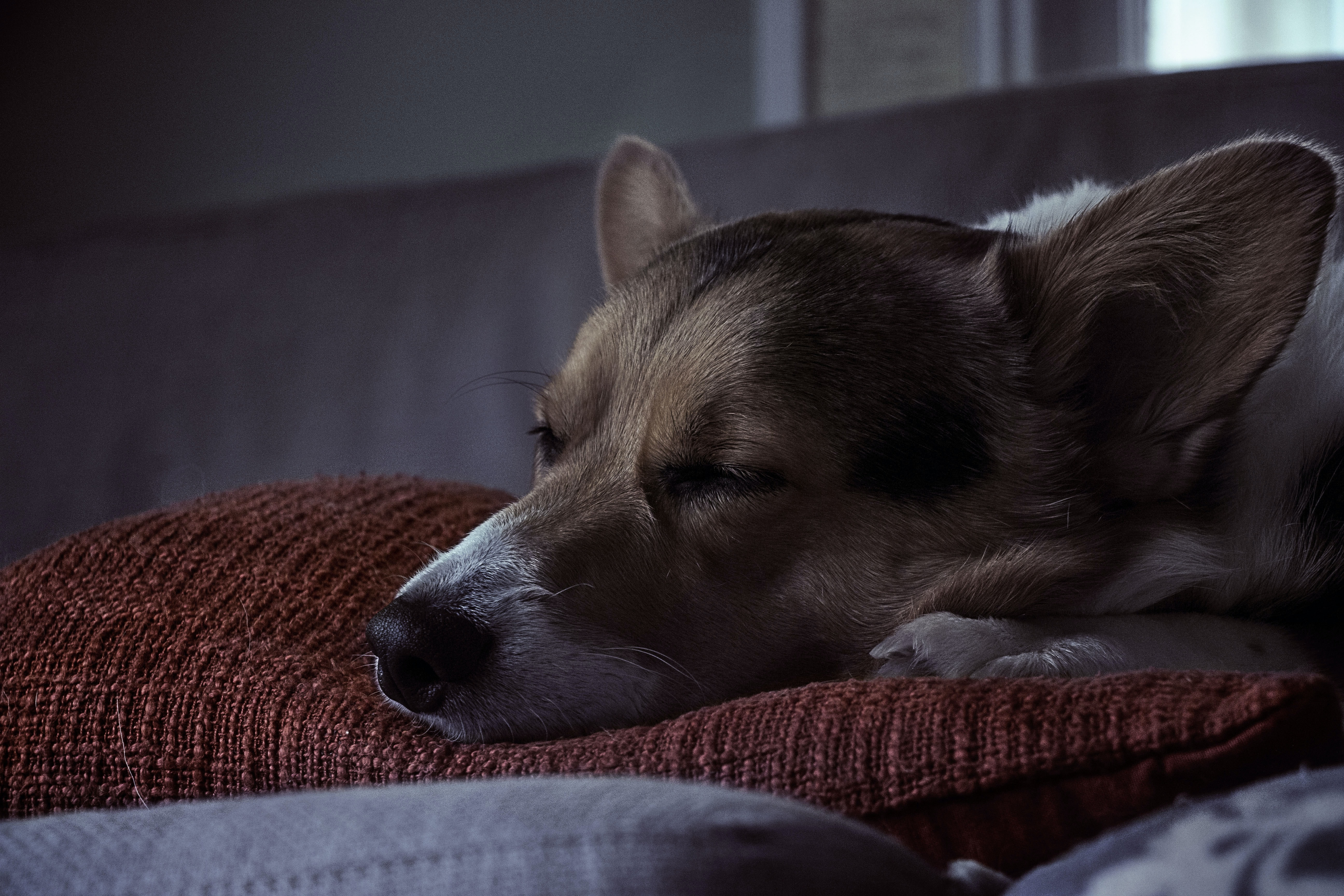 A corgi sleeping on a soft pillow