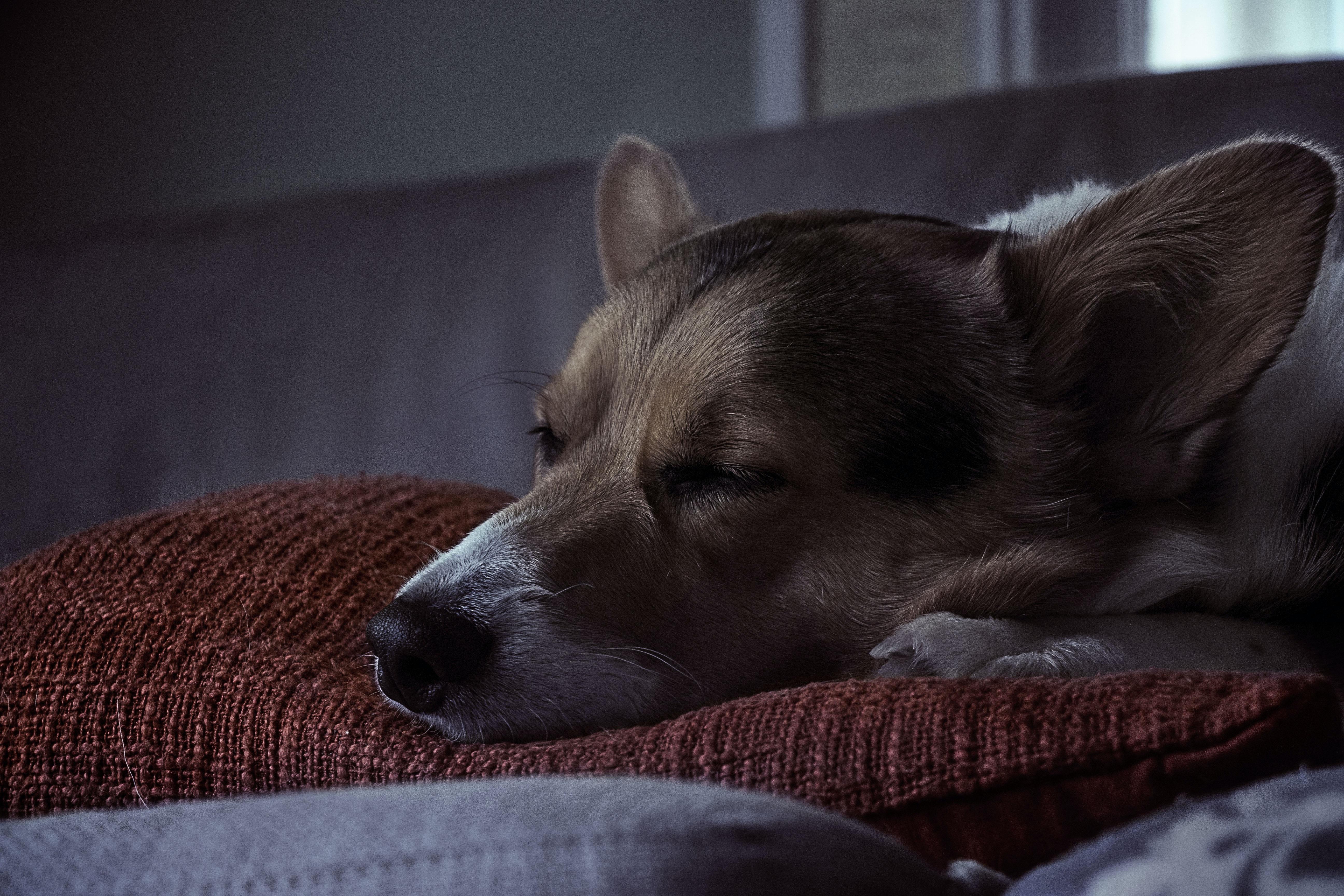 A corgi sleeping on a soft pillow