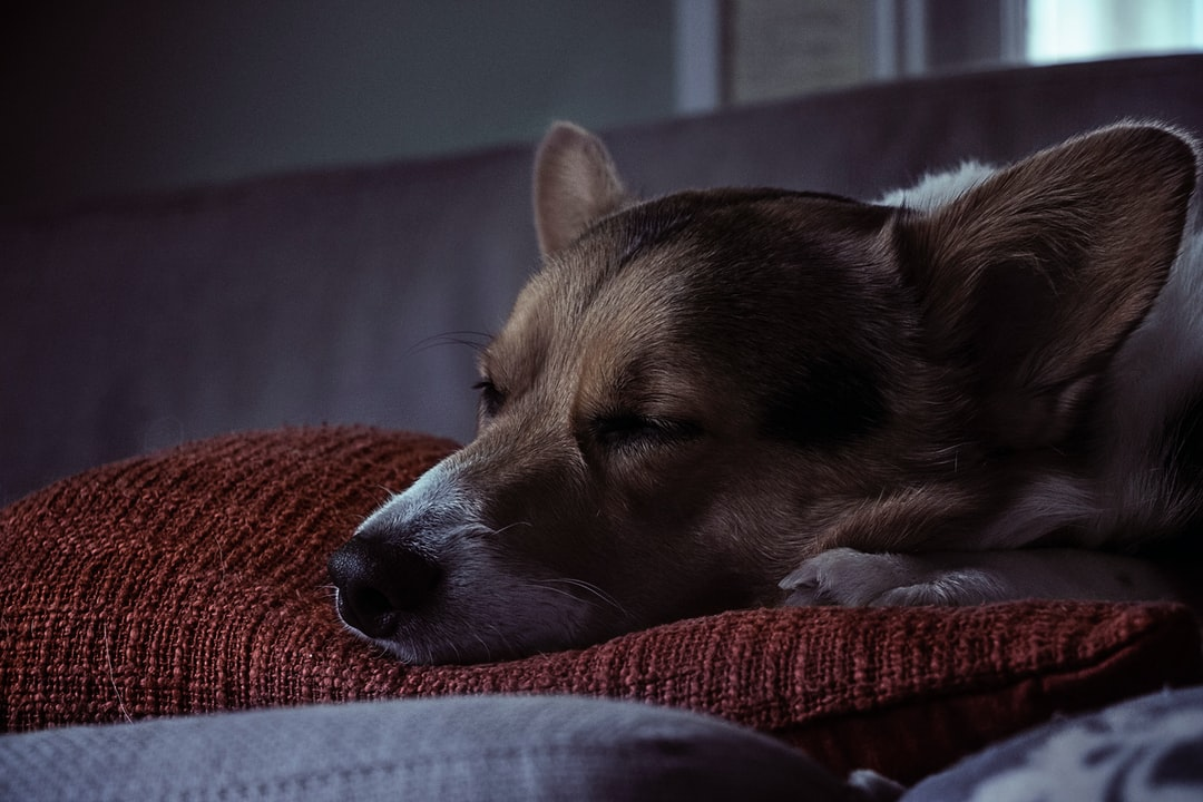 My dog Louie taking a nap in late afternoon. Lighting and contrast was altered in photoshop to give it a moody tone.
