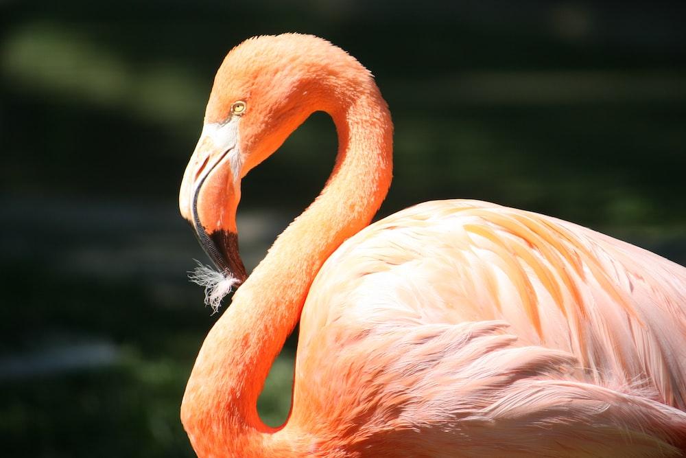 pink flamingo closeup photography