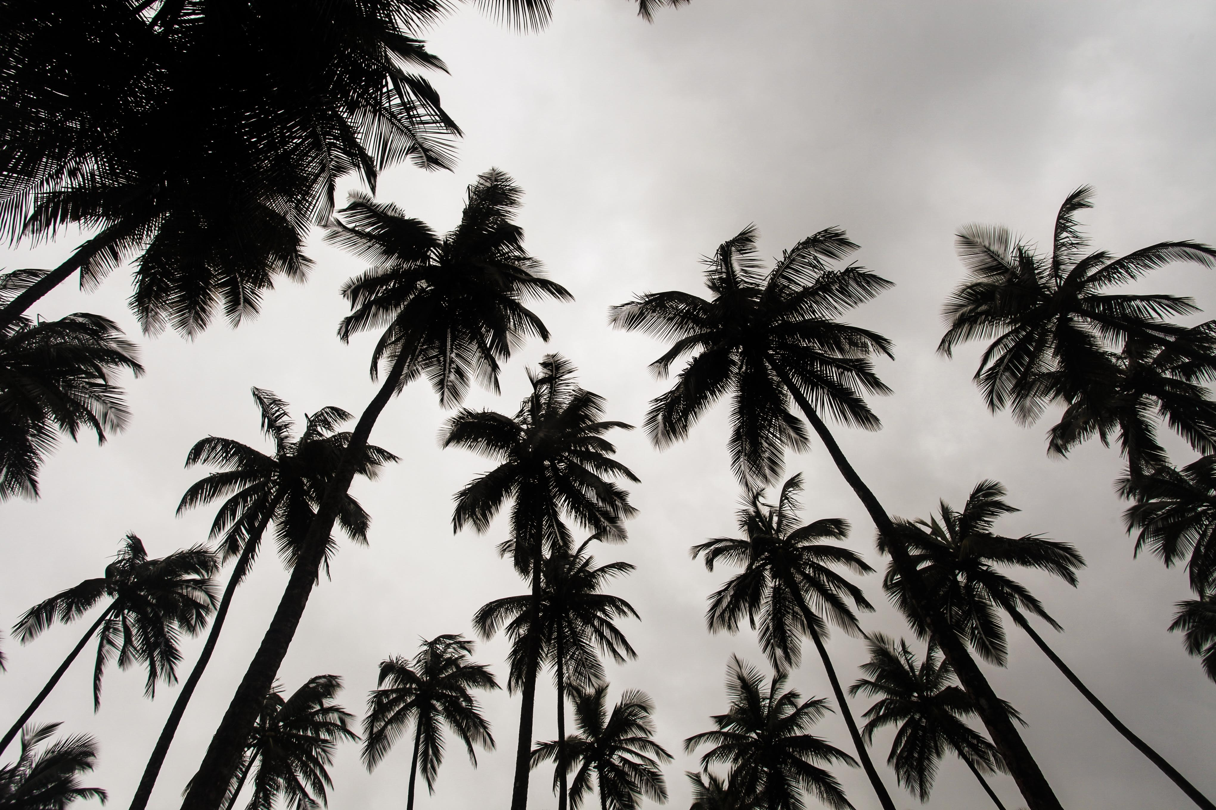Looking up at the silhouette of a dozen tall palm trees against a grey cloudy sky