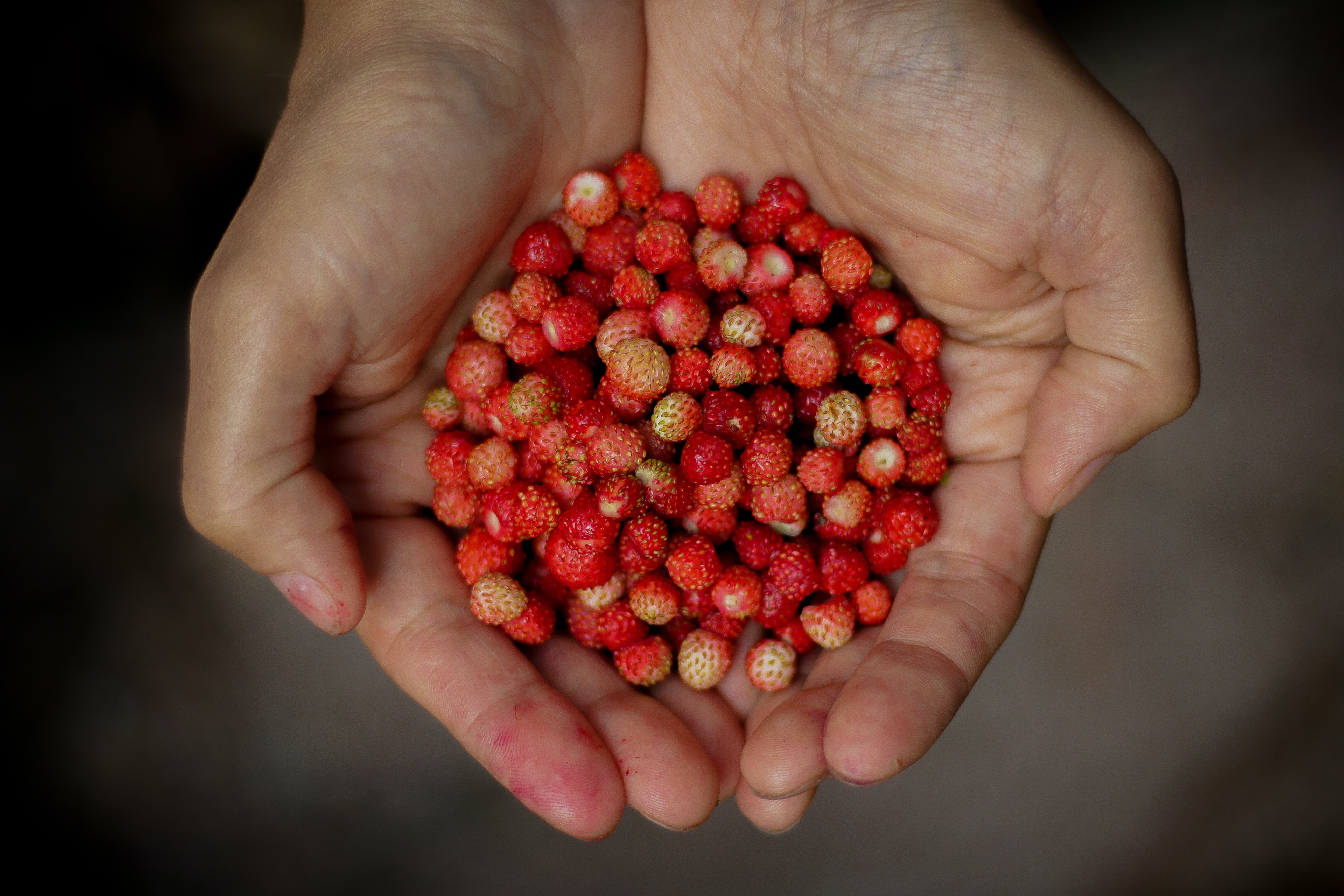 Hands outstretched holding a gathered bunch of red wild strawberries