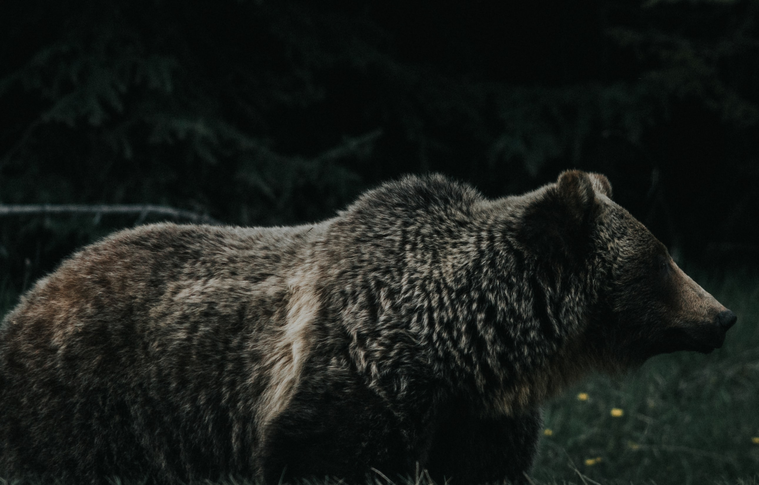 Montana Hunter Reports Killing Grizzly Bear in Self-Defense