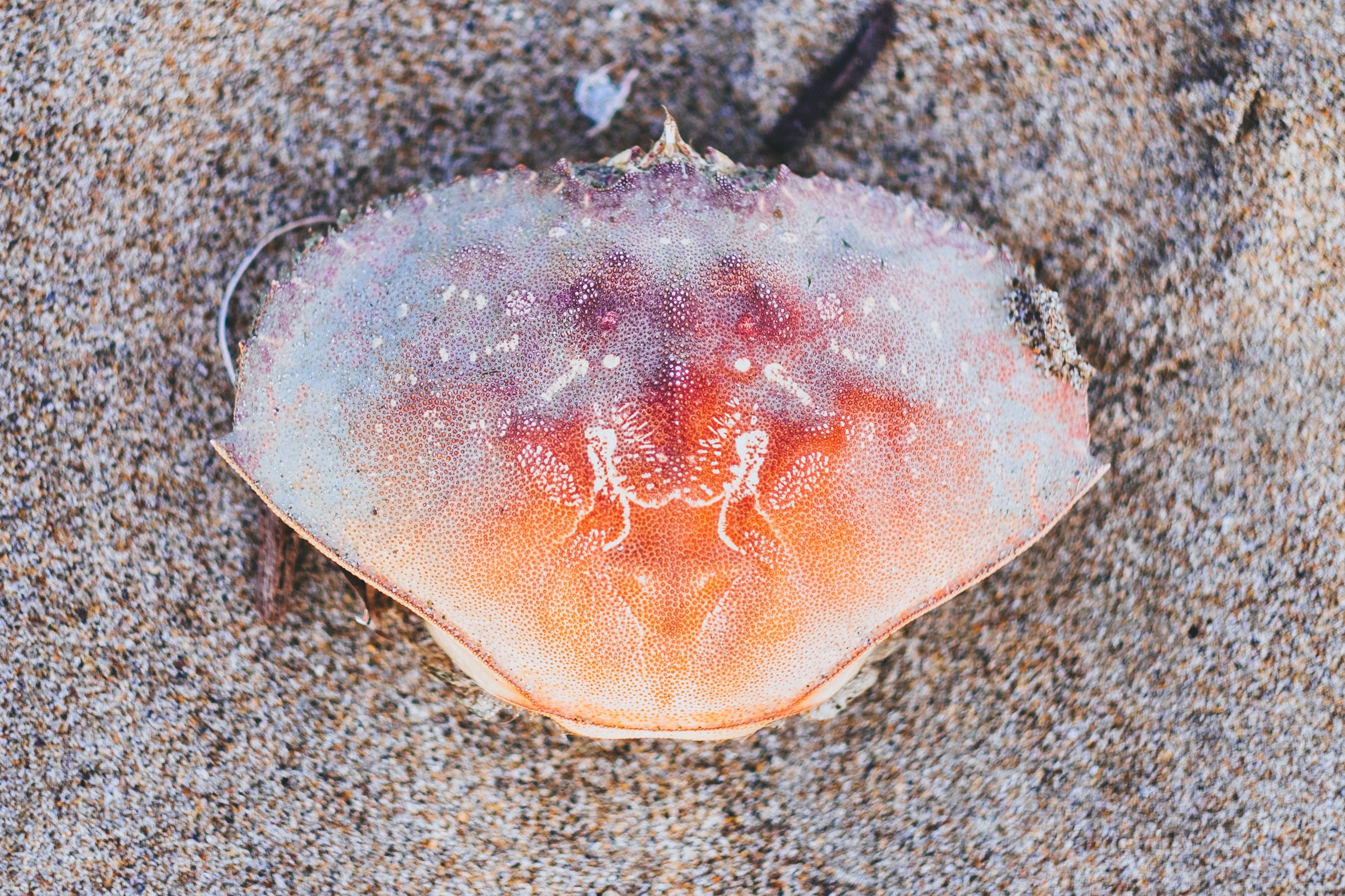 orange crab on brown sand