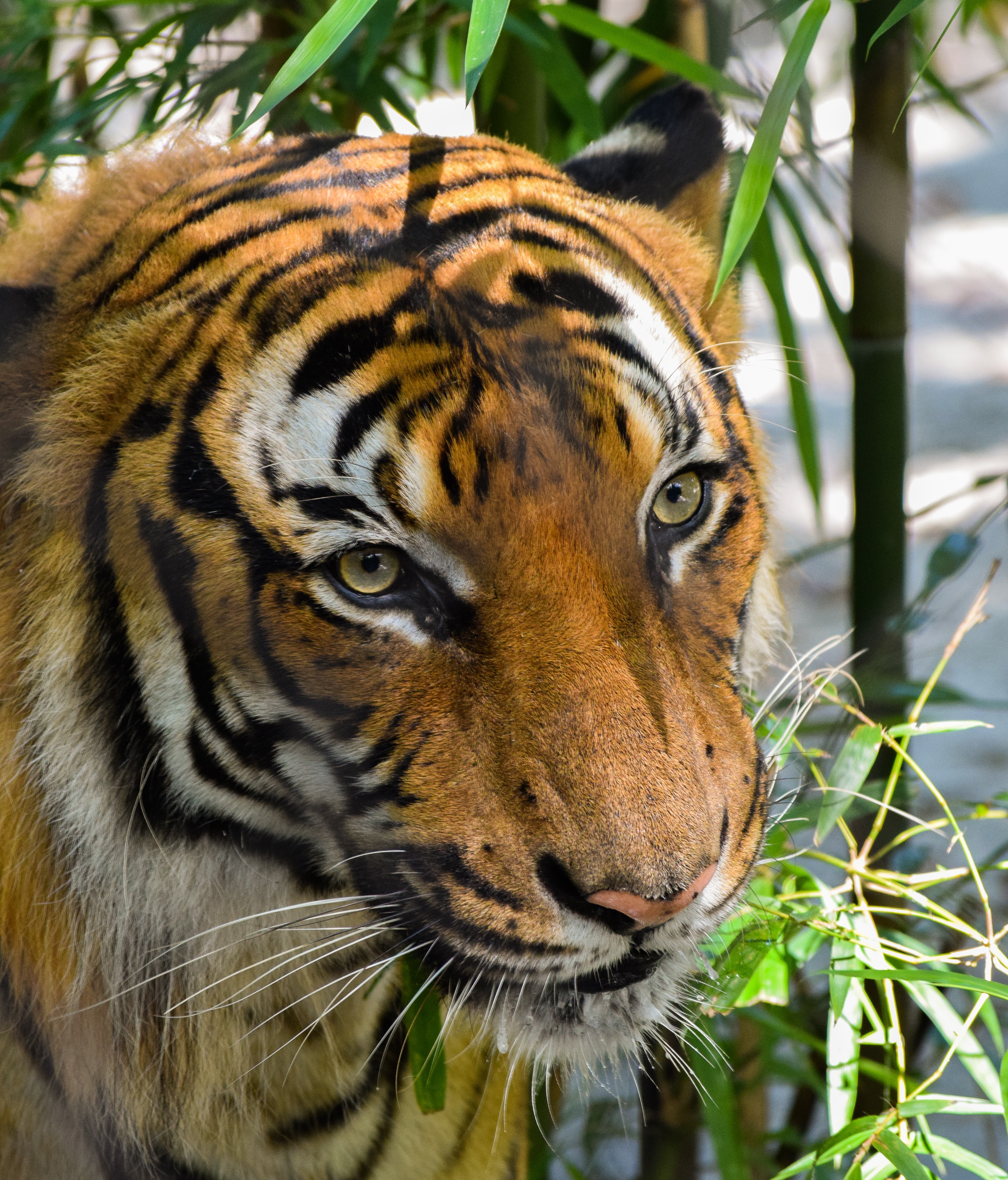 Close up shot of beautiful tiger face with bamboo tree leaves