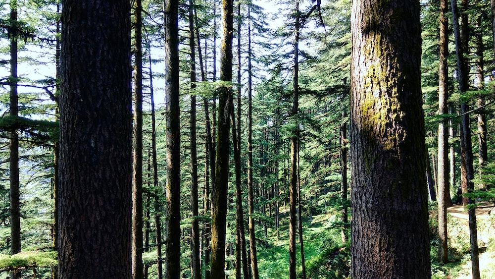 brown tree trunks