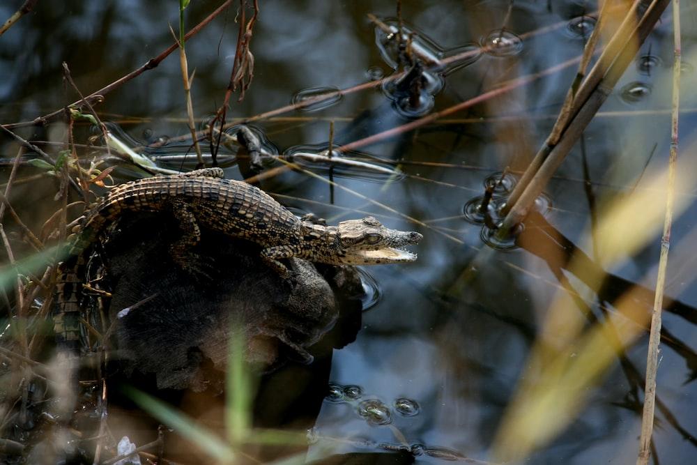 alligator on rock beside water