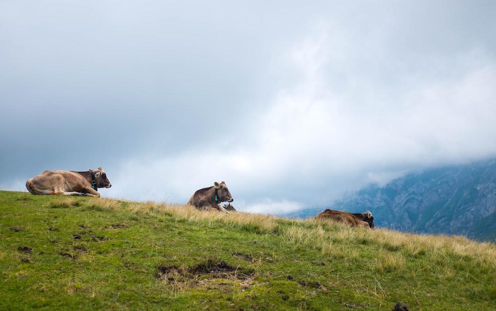 three brown cow on green grass field