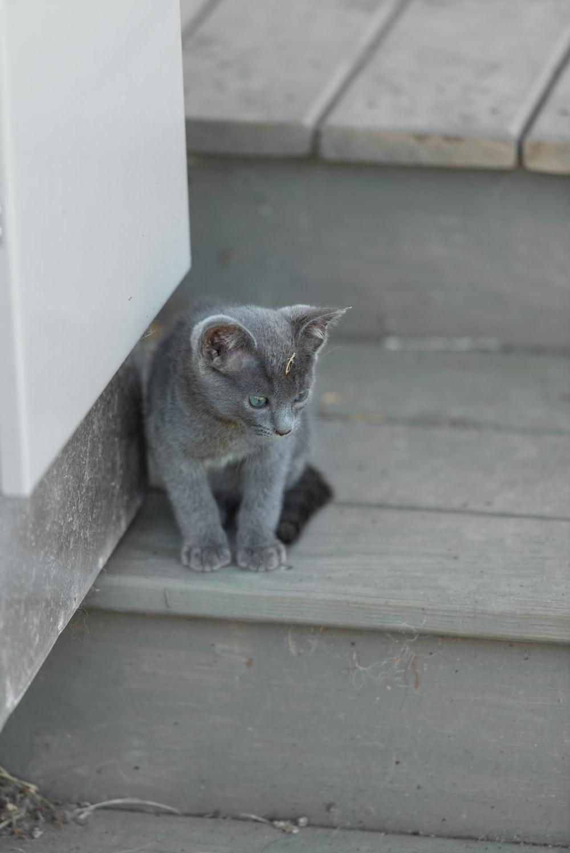 shallow focus photo of Russian blue kitten