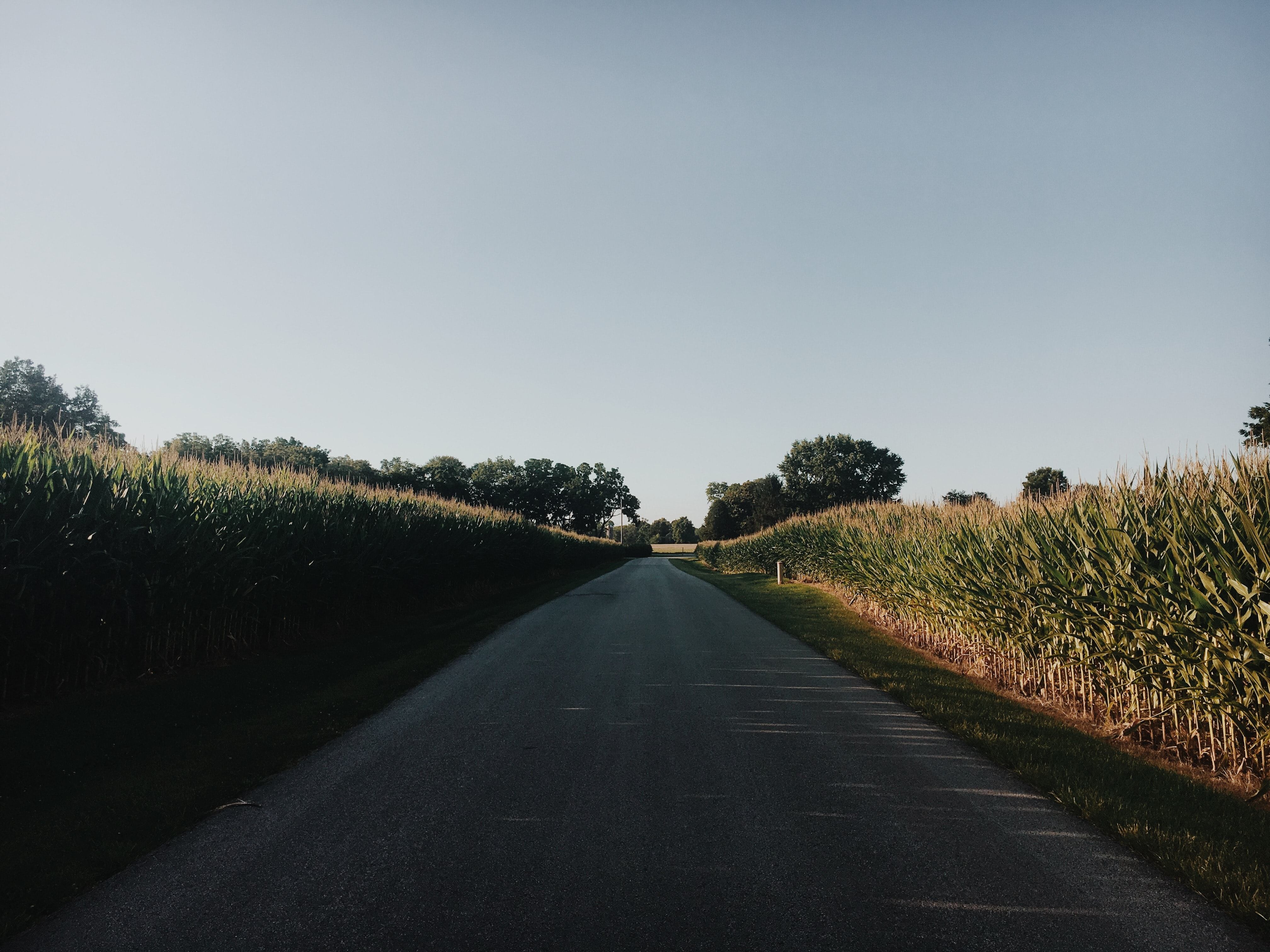 road surrounded by corn plants