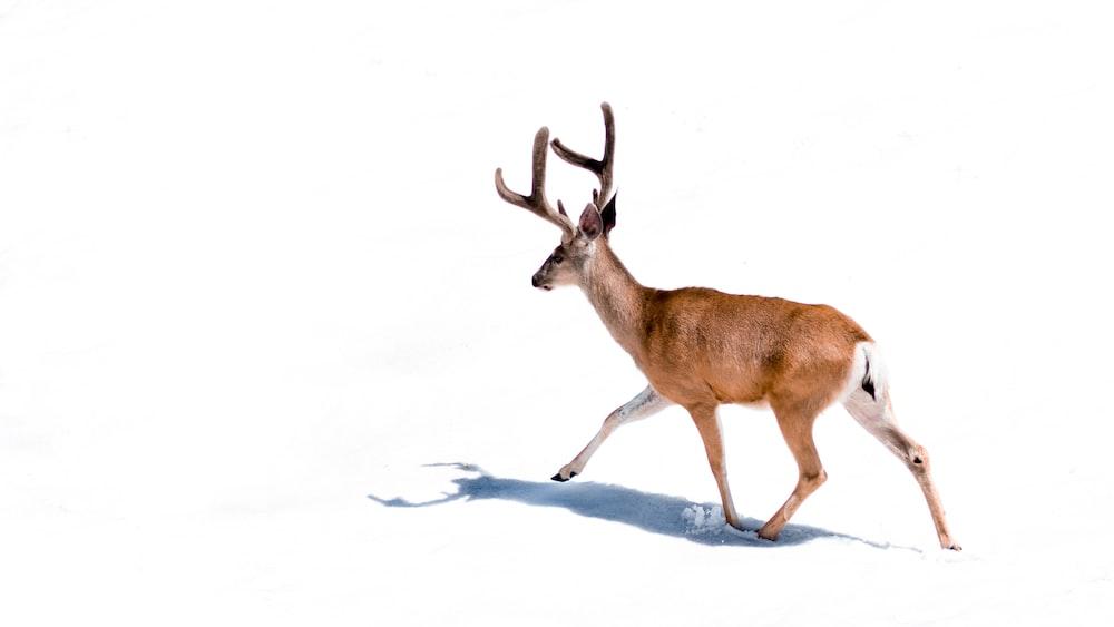 brown deer on white background