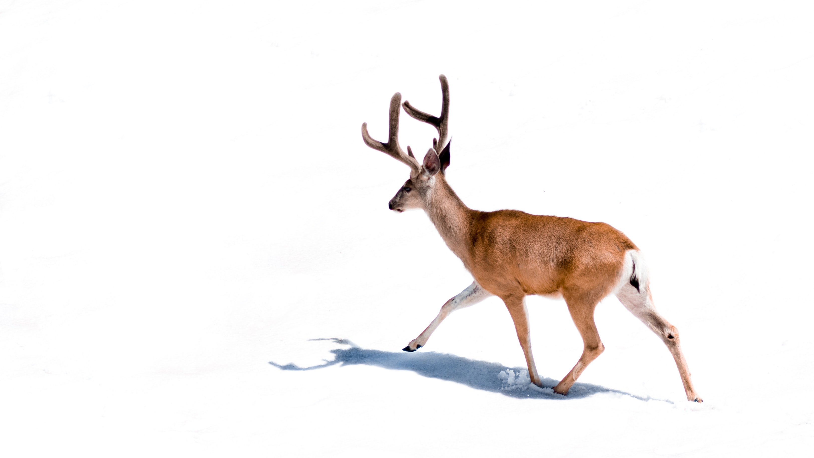 A deer walking through the snow at Mineral King in Sequoia National Park, California