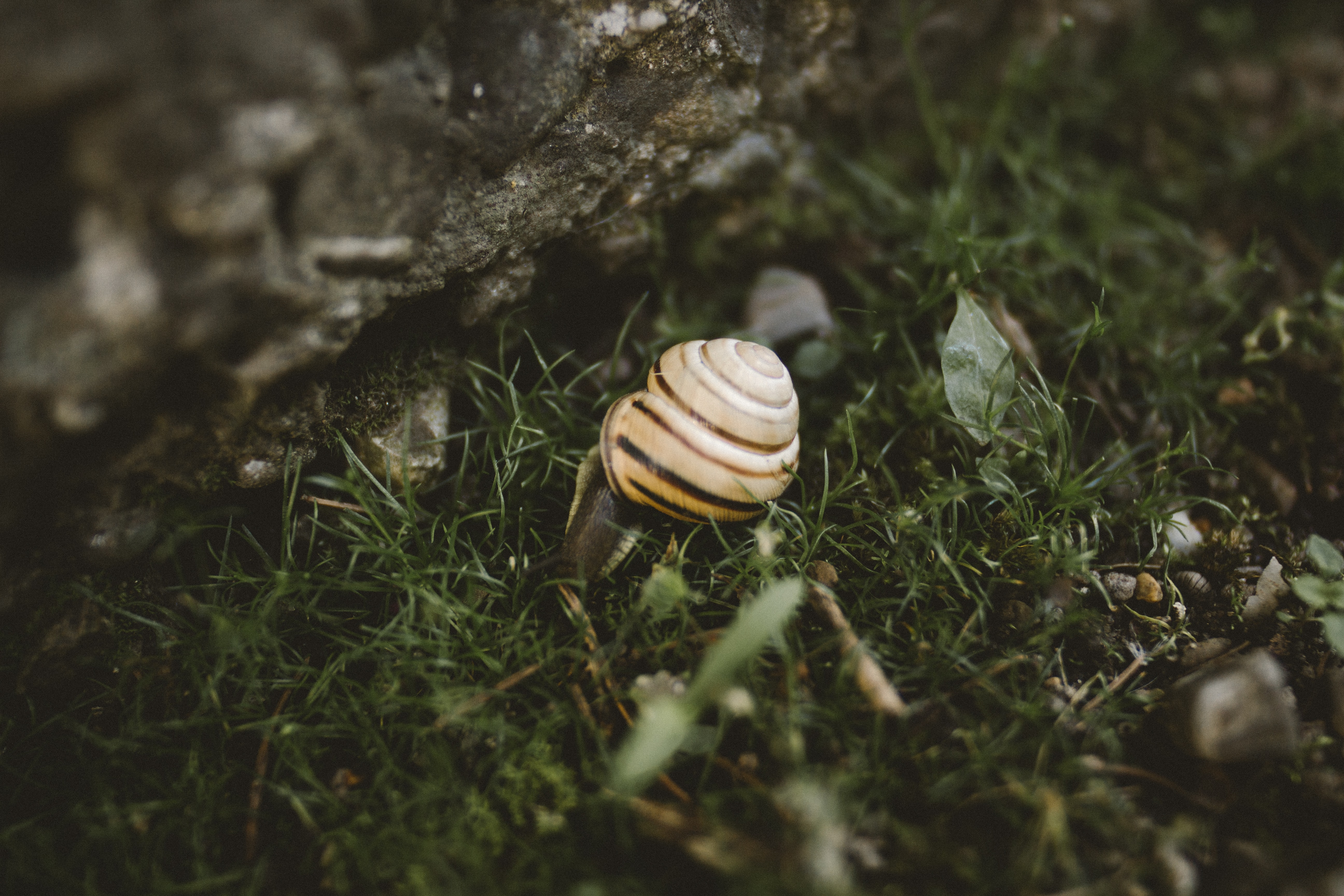 A snail crawls beside a large rock on a patch of grass