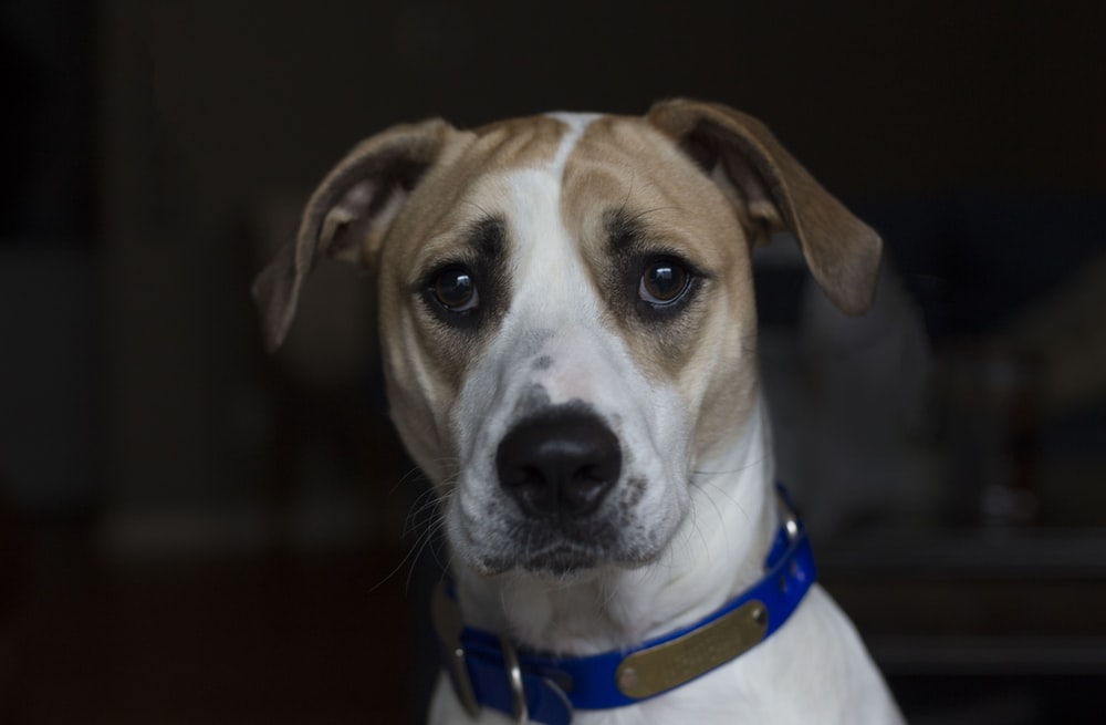 short-coated tan and white dog with blue collar