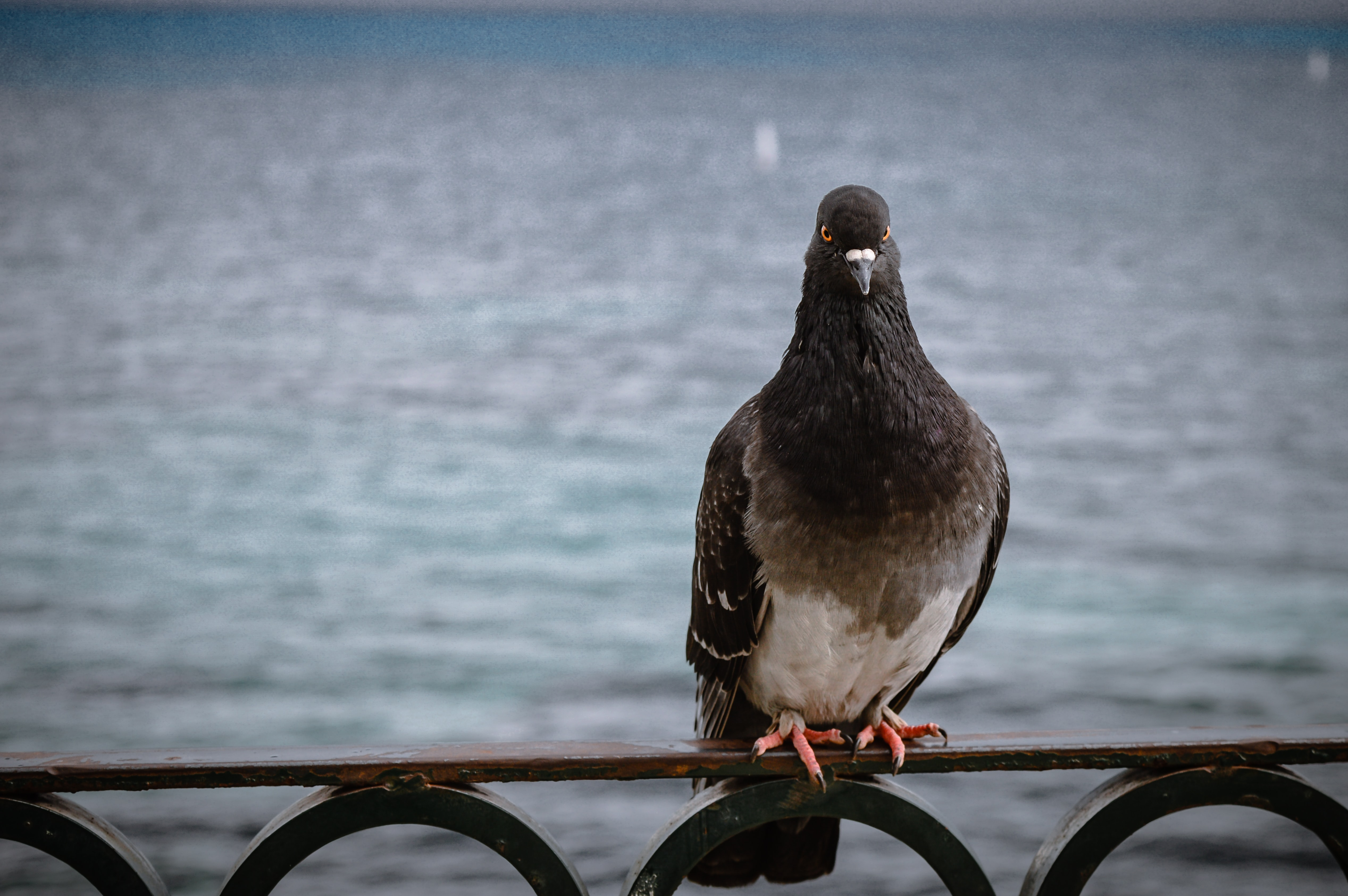 Dark pigeon perched on a metal railing by the sea