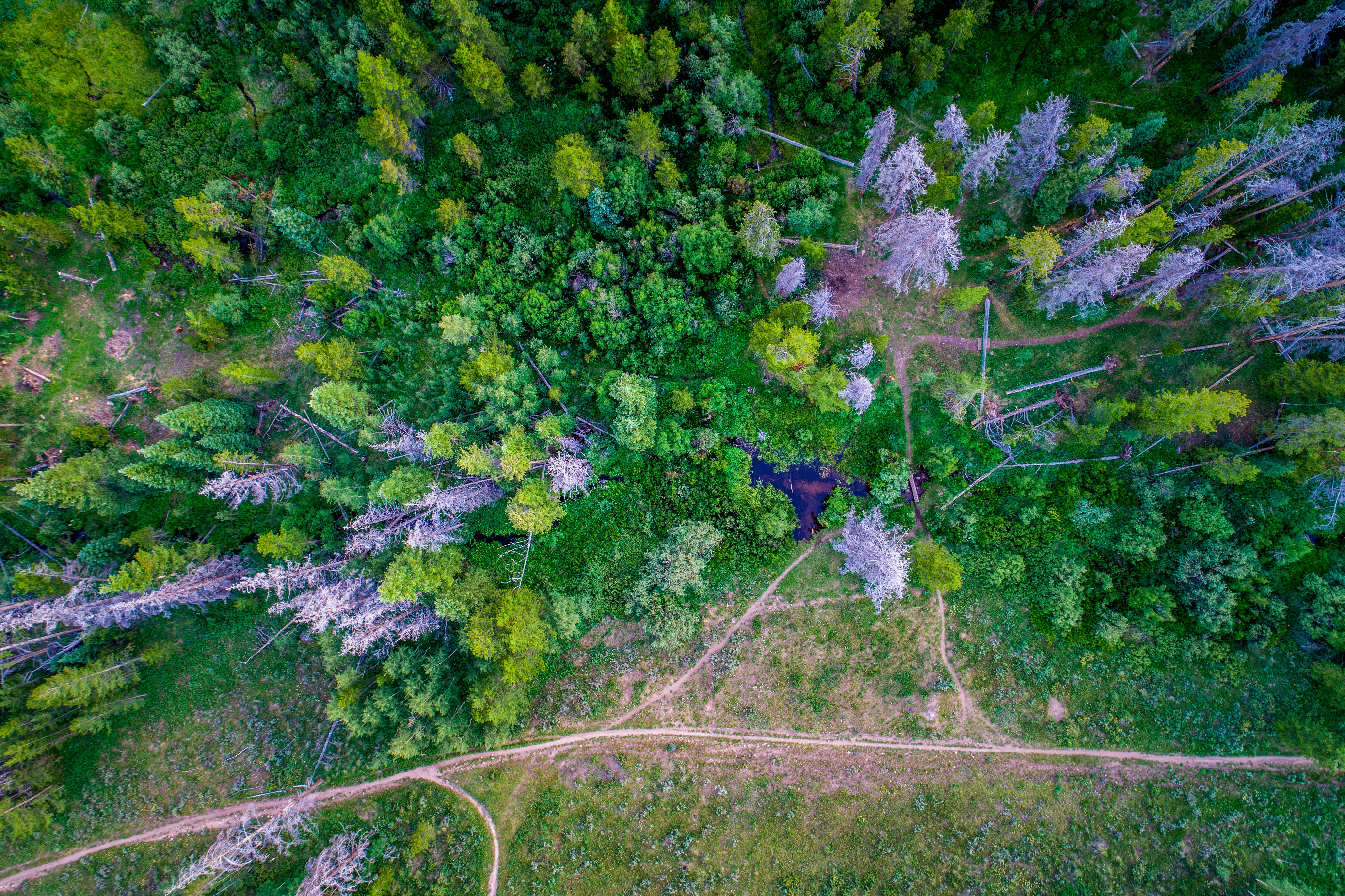 A drone shot of  narrow paths near a group of dead gray trees in a lush green forest