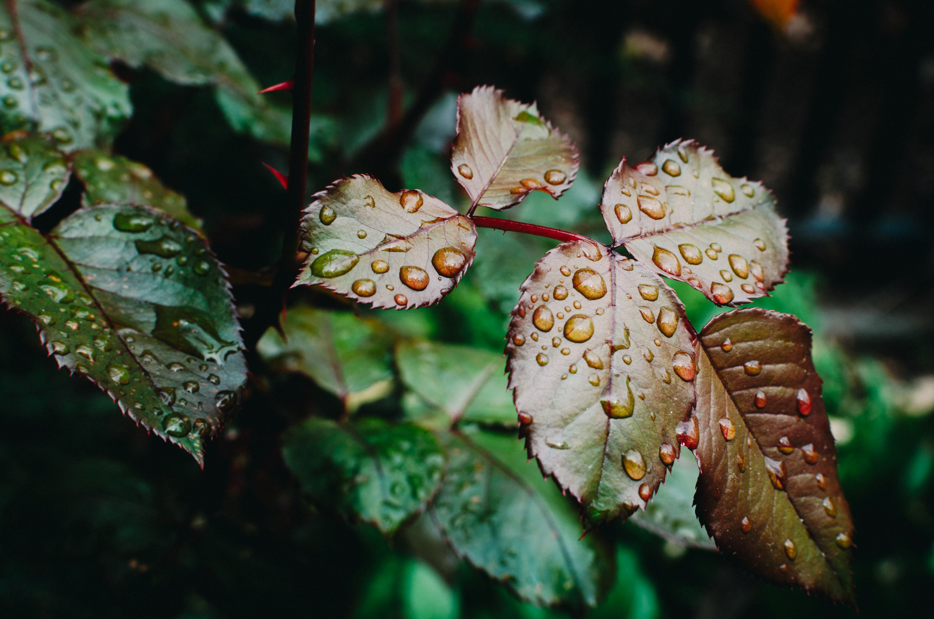 Droplets of water on serrated leaves