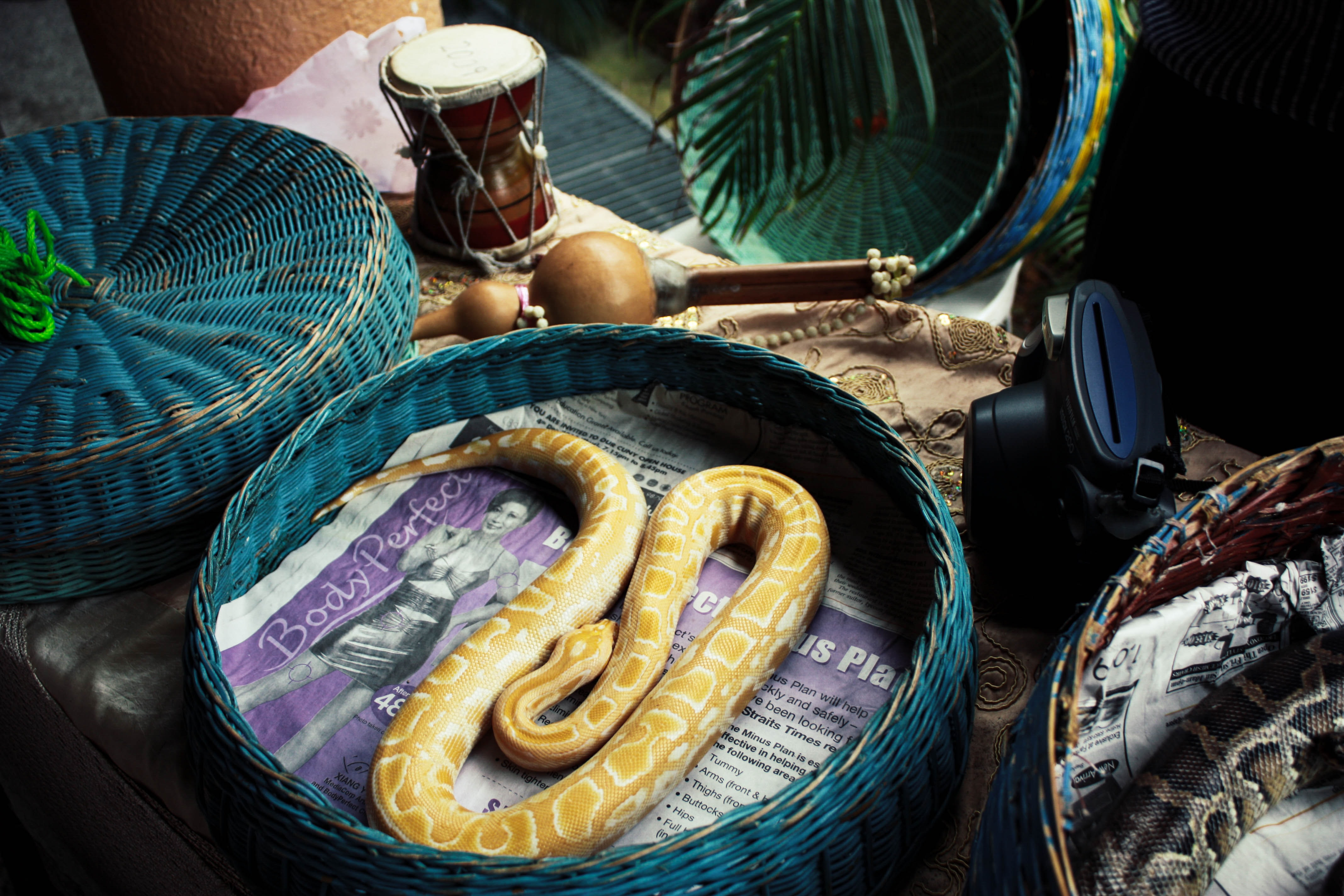 python snake at wicker basket