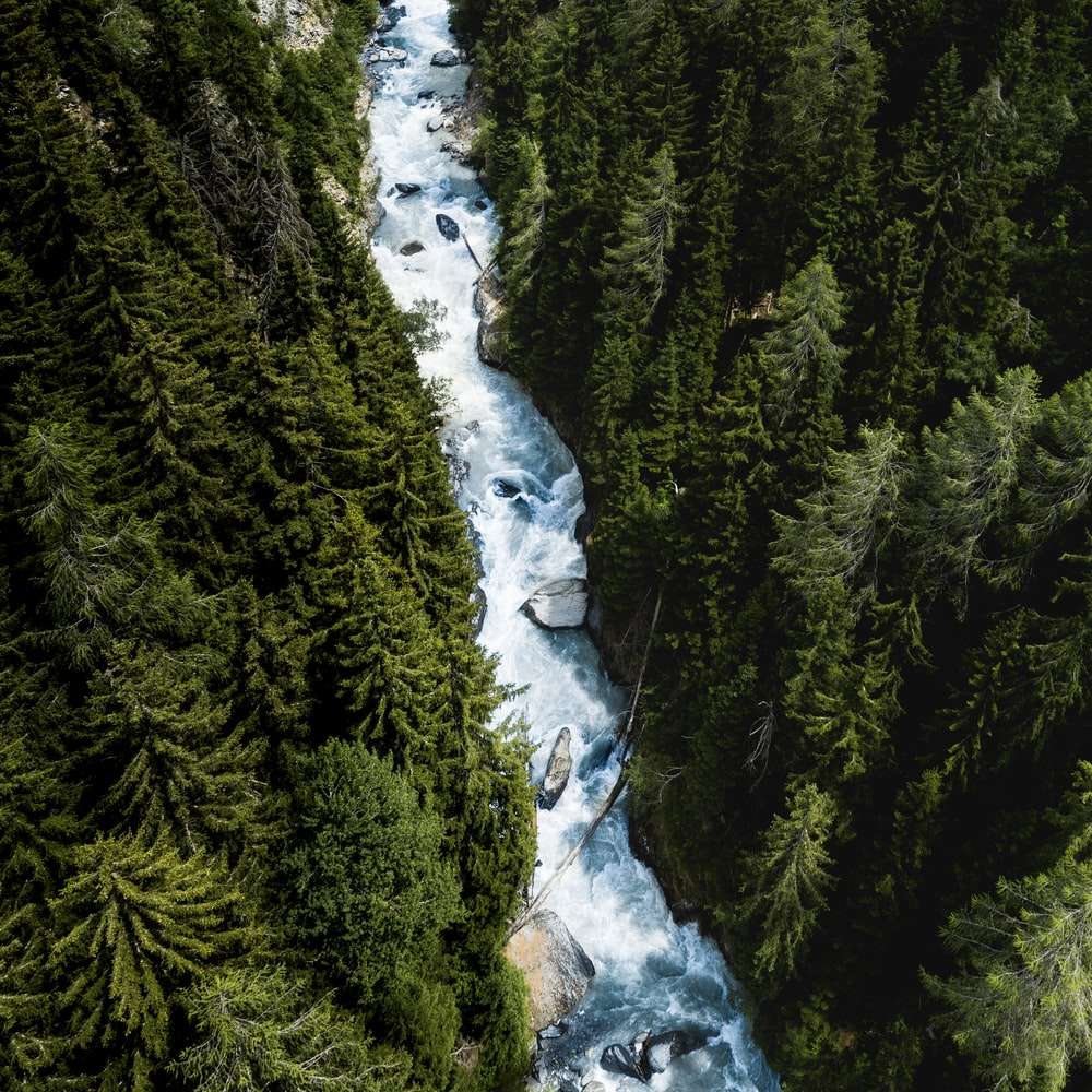 river between tall pine trees