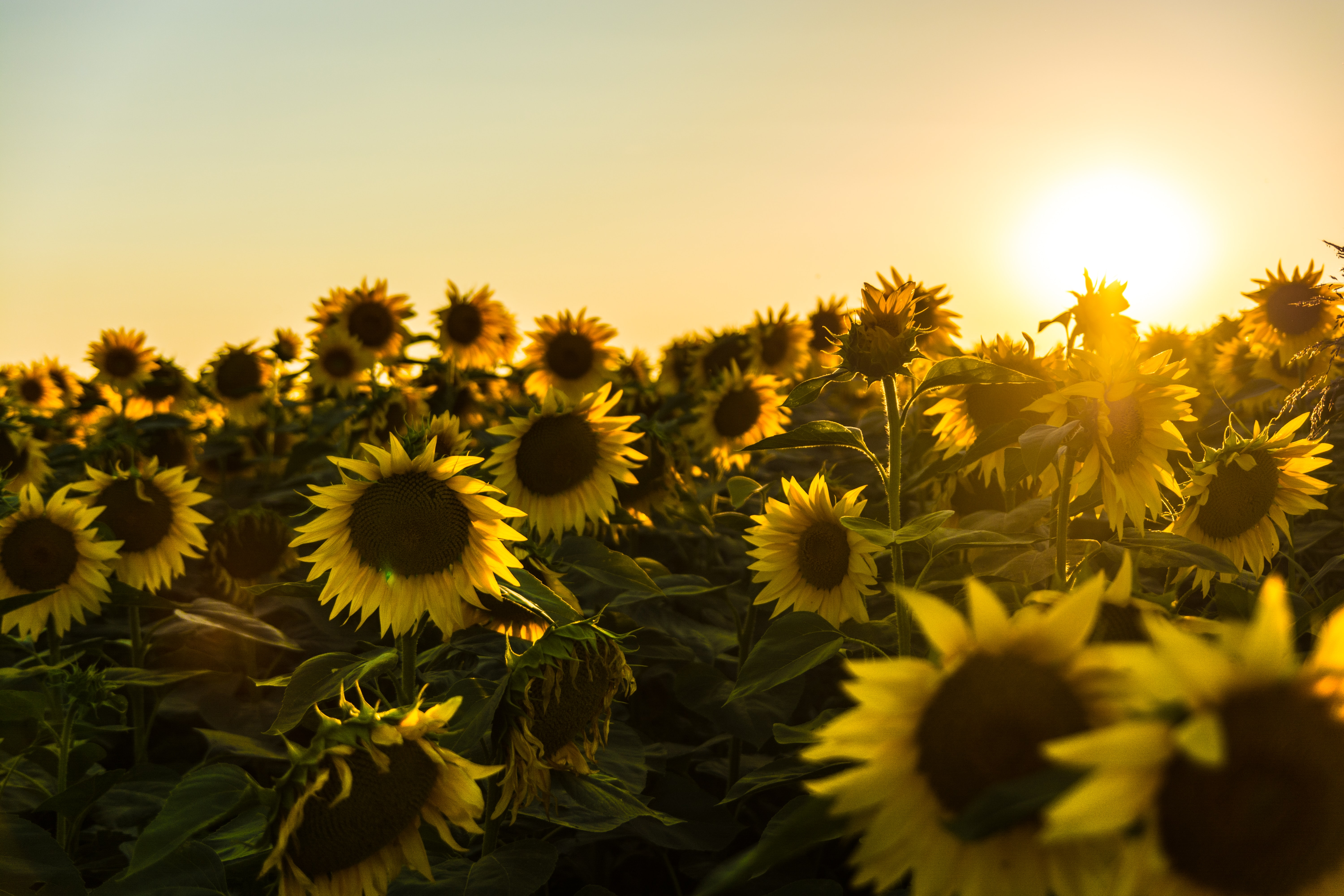 yellow sunflower field during sunset