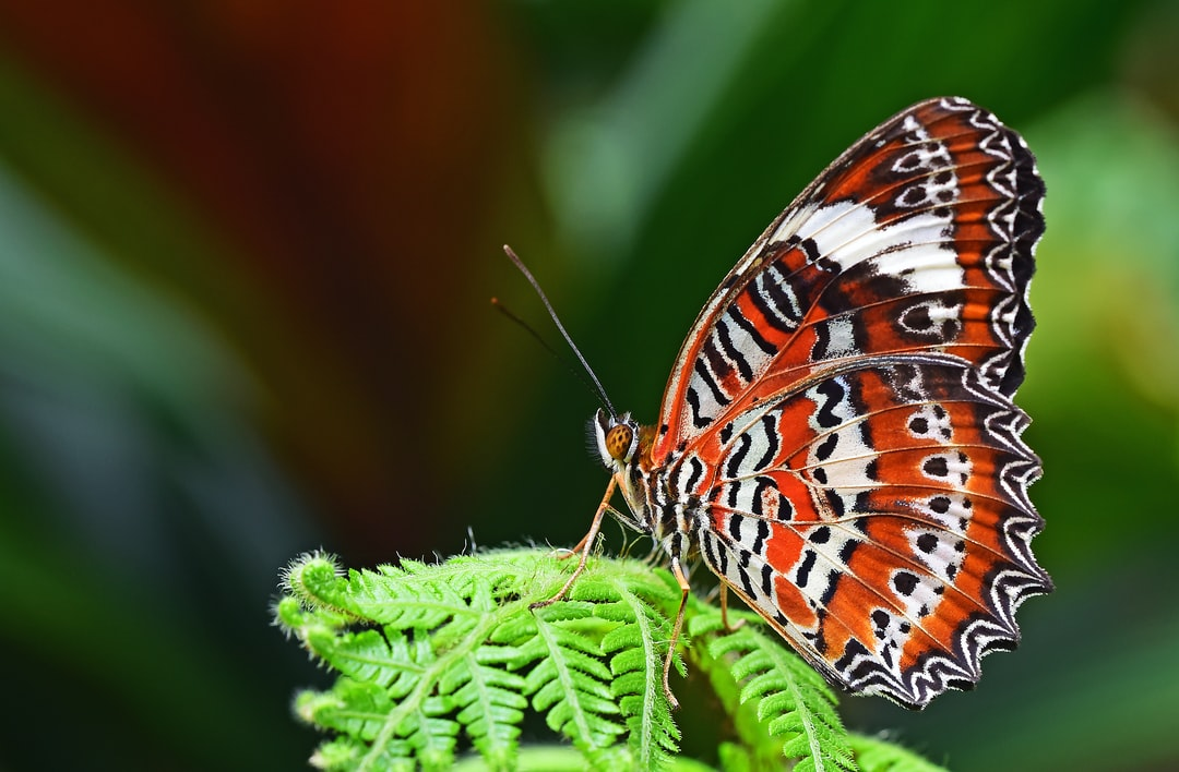 An orange Lacewing butterfly poses on an unfurling fern frond. Cairns, Australia.