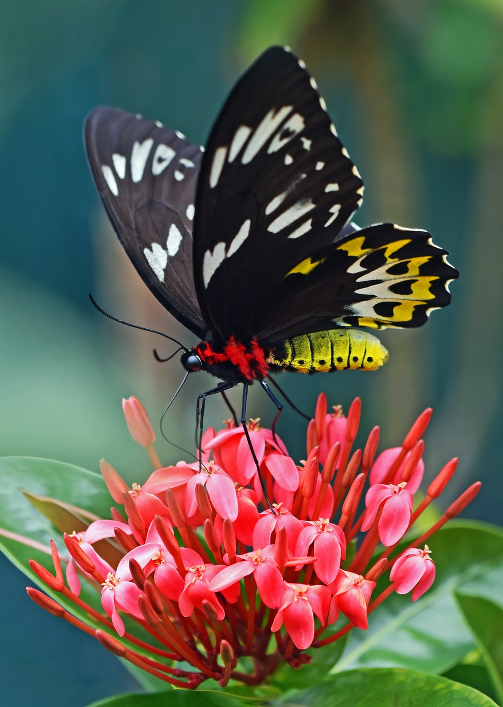 selective focus photography of black and yellow swallowtail butterfly on ixora during daytime