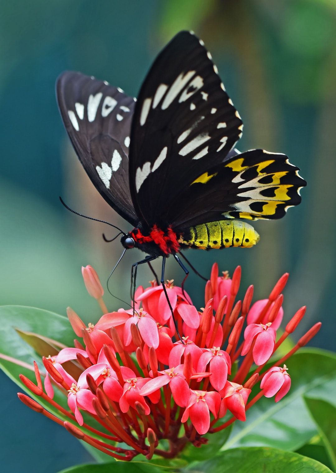 After much effort, I finally managed to get a photo of this butterfly sipping nectar from a pink ixora flower.