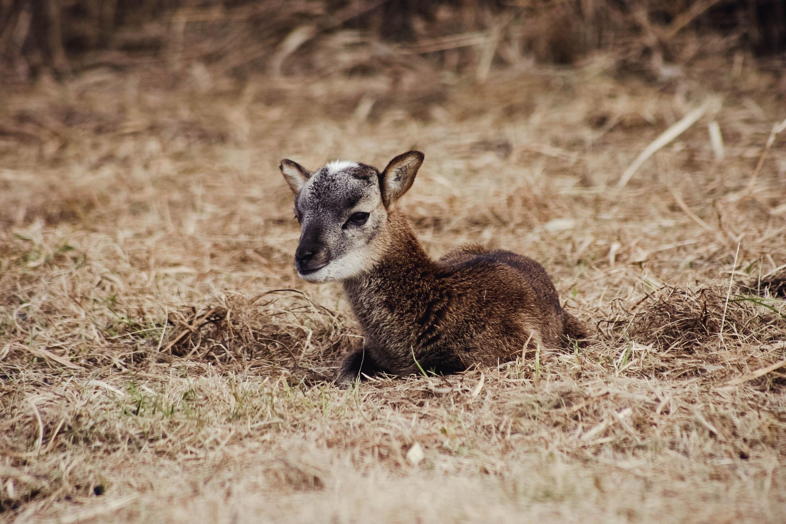 A baby deer or llama resting in a farm