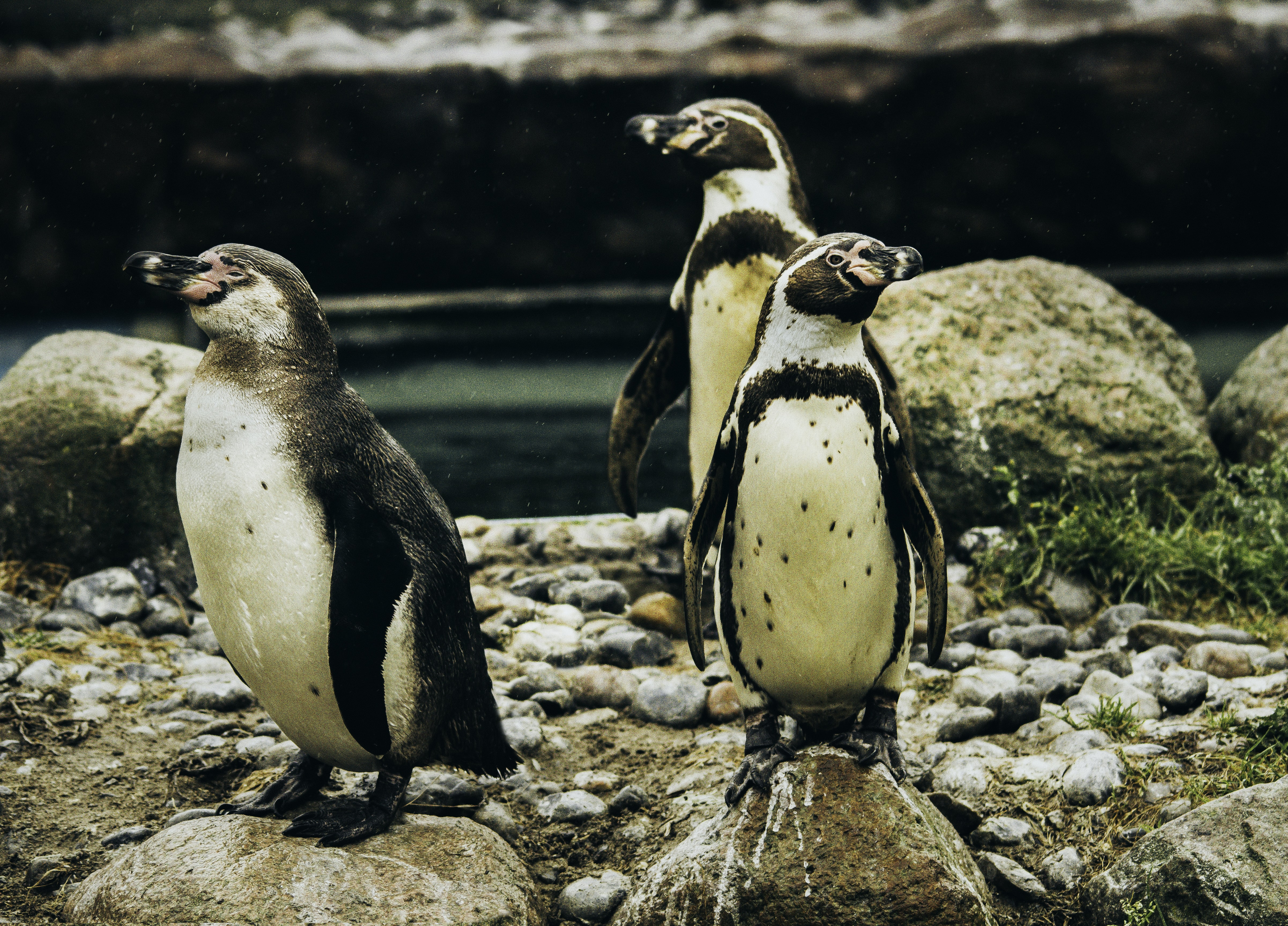 Three penguins balancing on rocks and pebbles by water