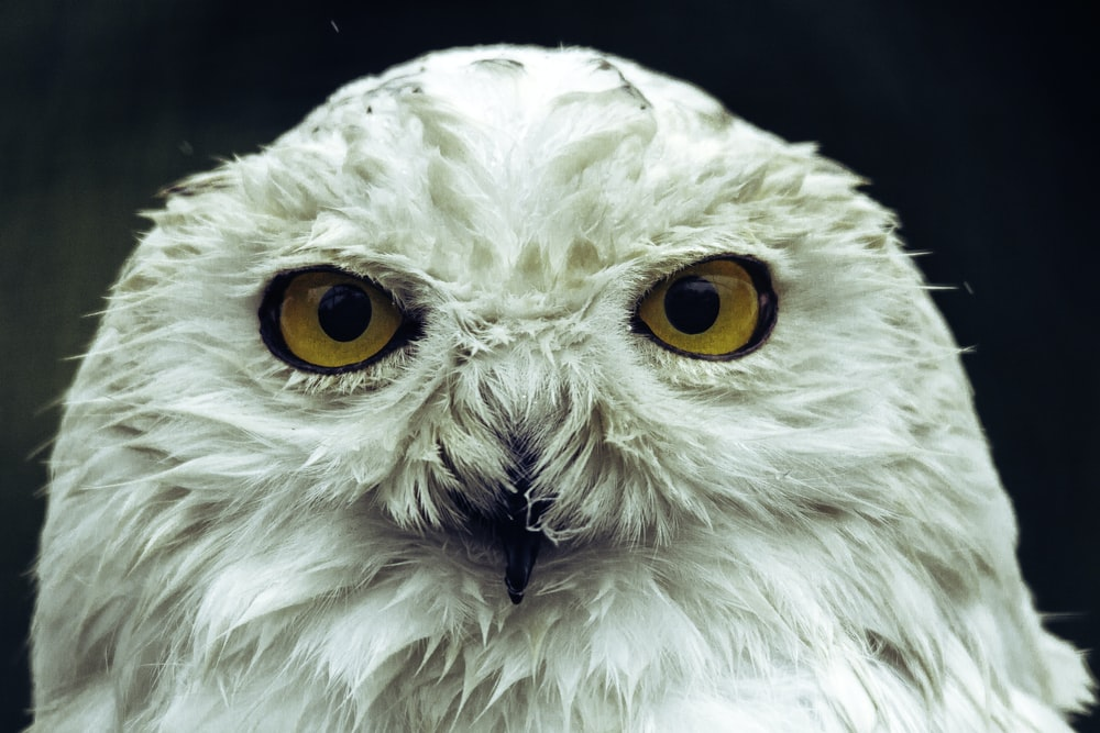 white owl in close up