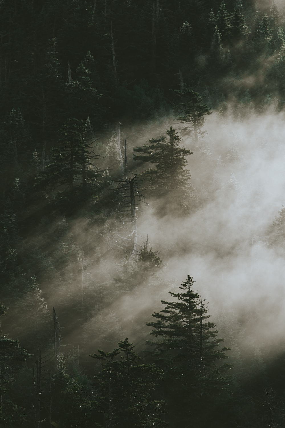 pine trees surrounded by fogs