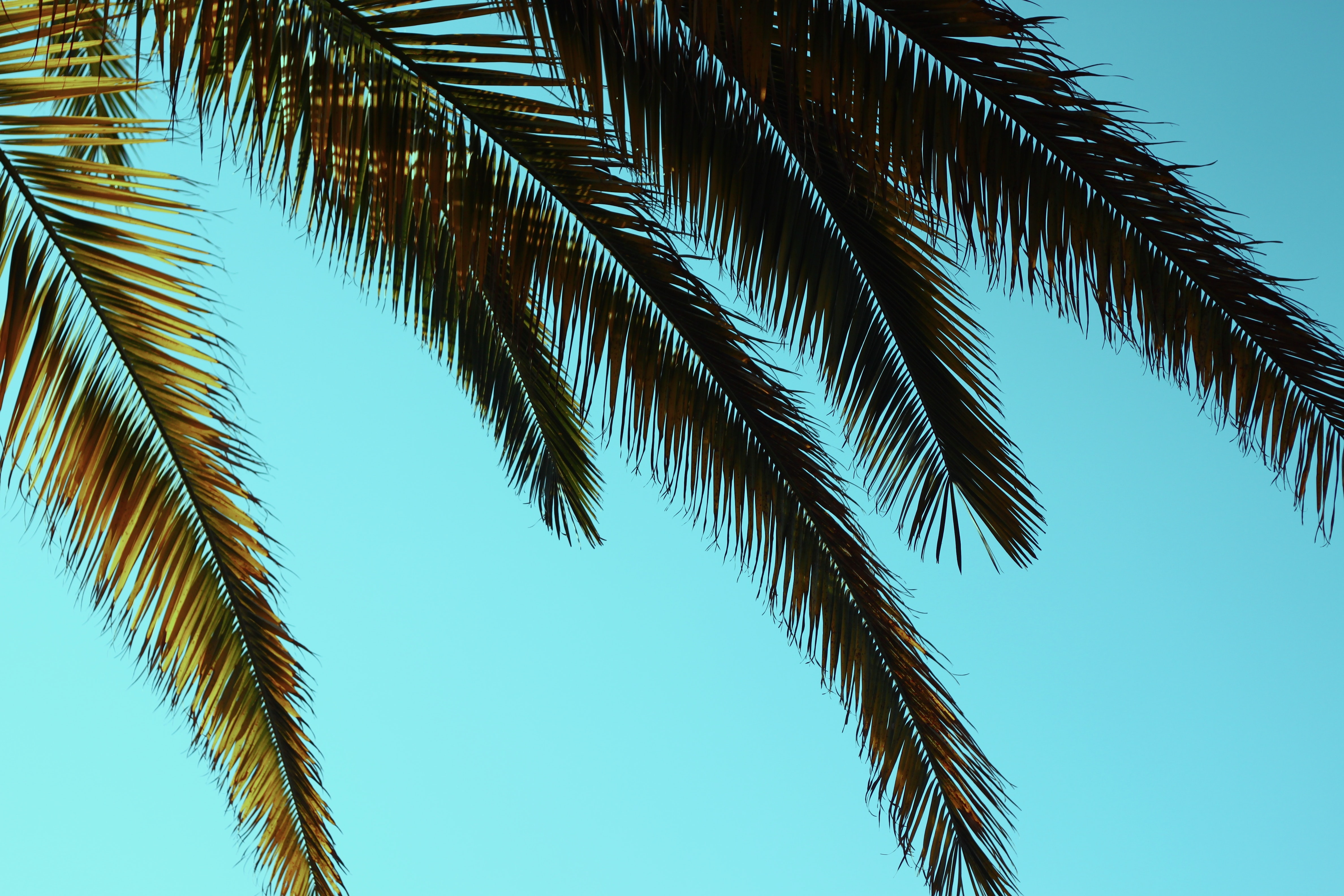 Tropical palm tree leaves against the blue sky at Viña del Mar