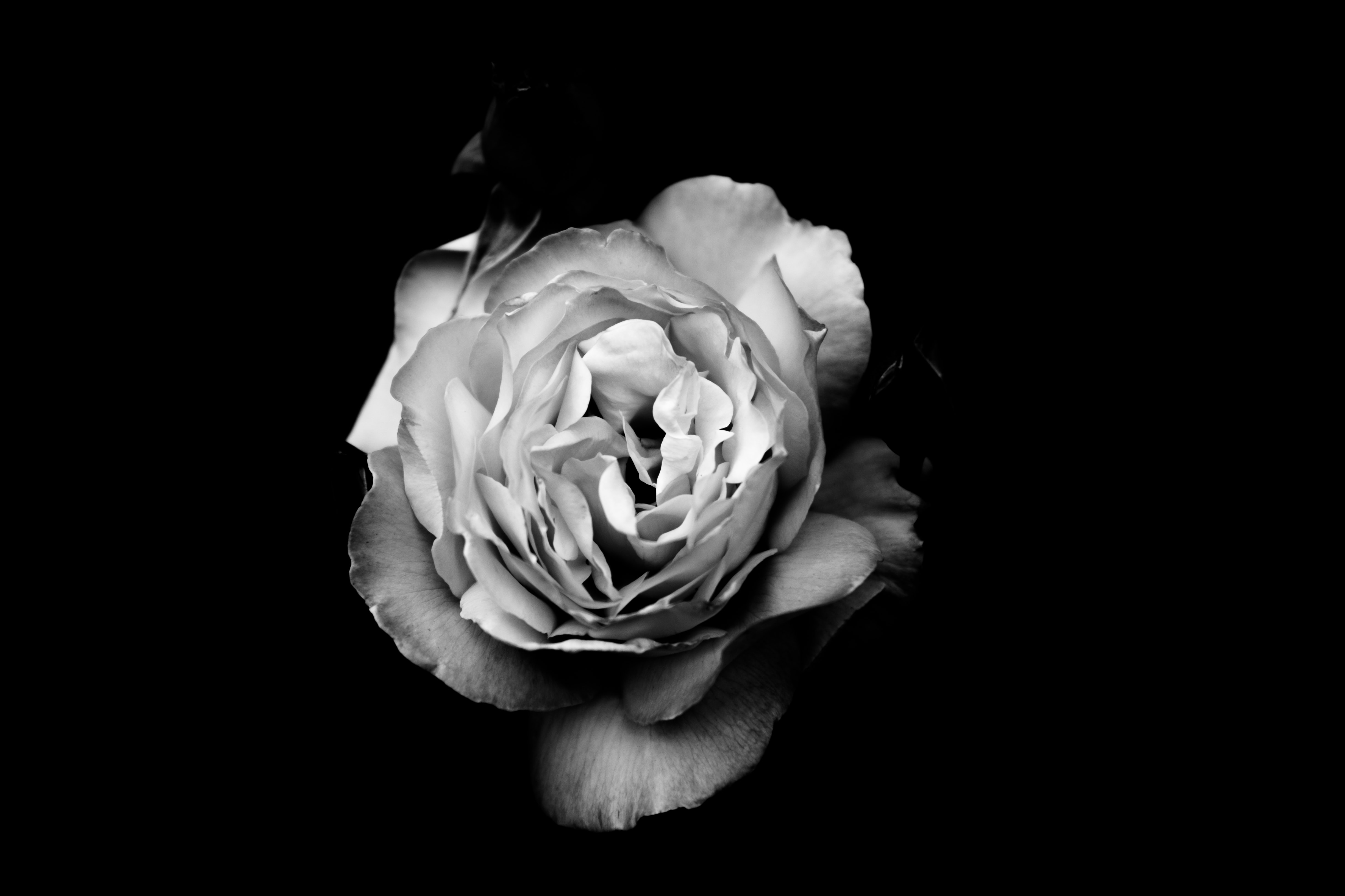 Black and white macro shot of white rose on dark background