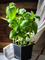 Growing Basil for Cooking and Pleasure