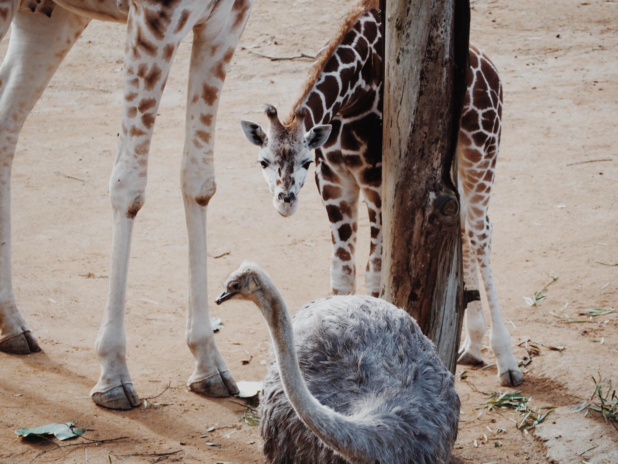 A baby giraffe beside another giraffe looking at an ostrich beside a tree