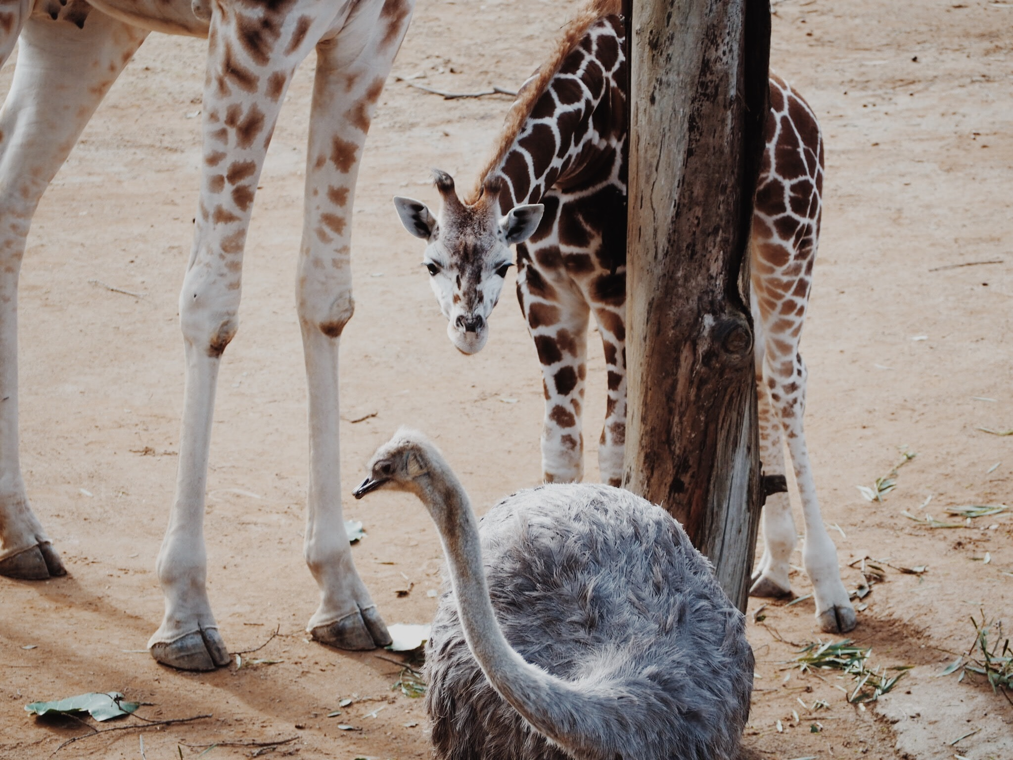 A baby giraffe beside another giraffe looking at an ostrich beside a tree